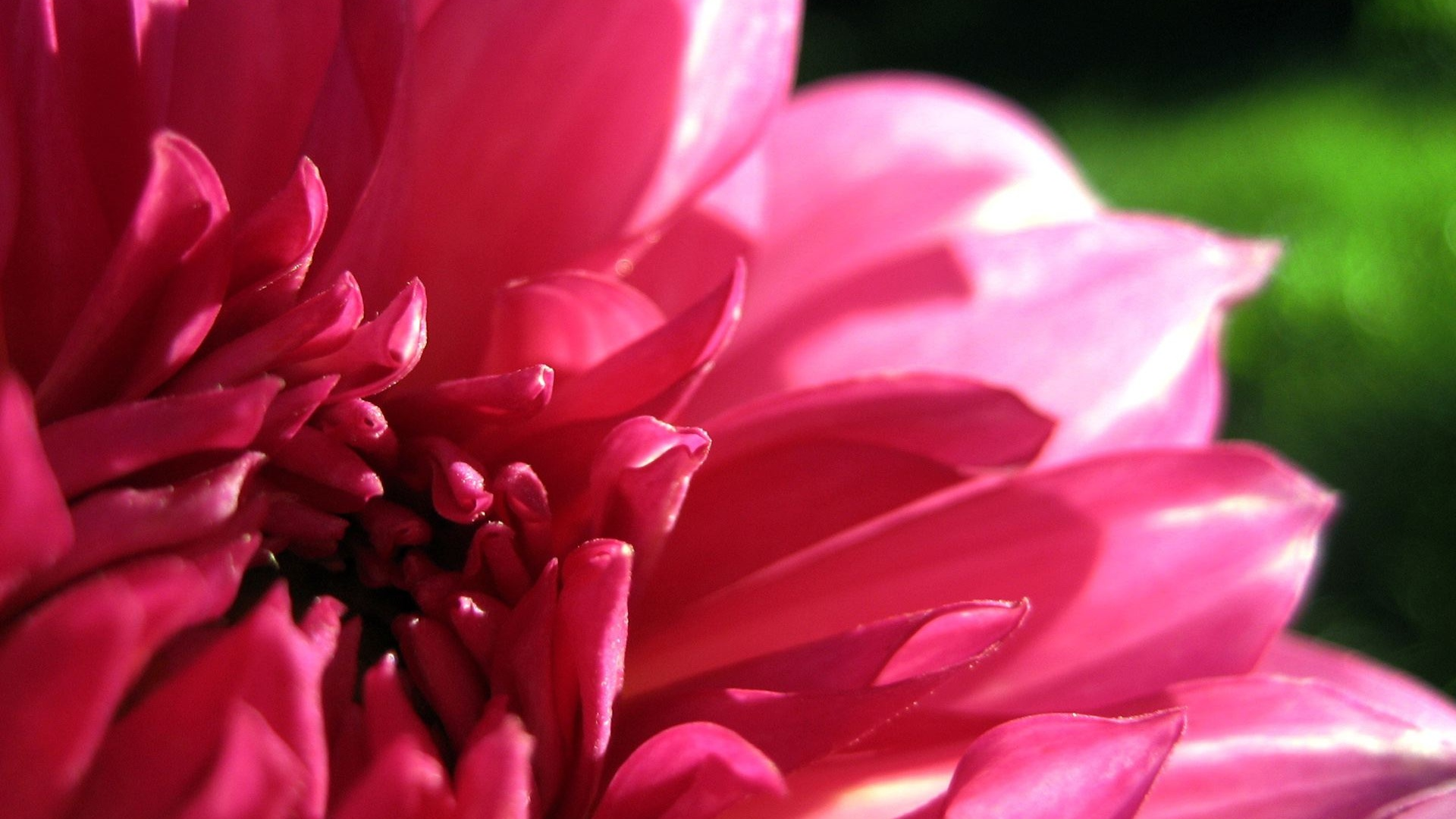 Dahlia Flower Hd Highresolution Pictures Desktop Background