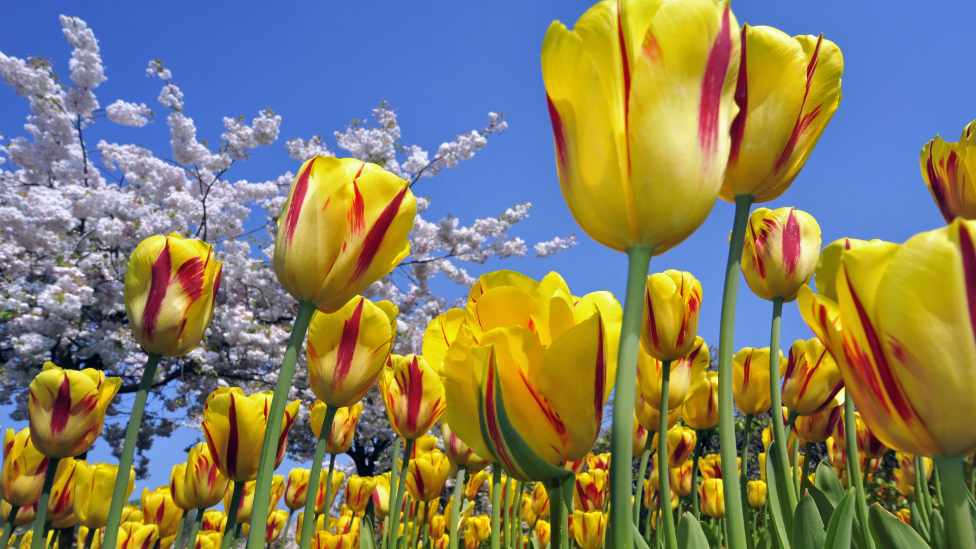 flowers full tulips wallpaper desktop free download