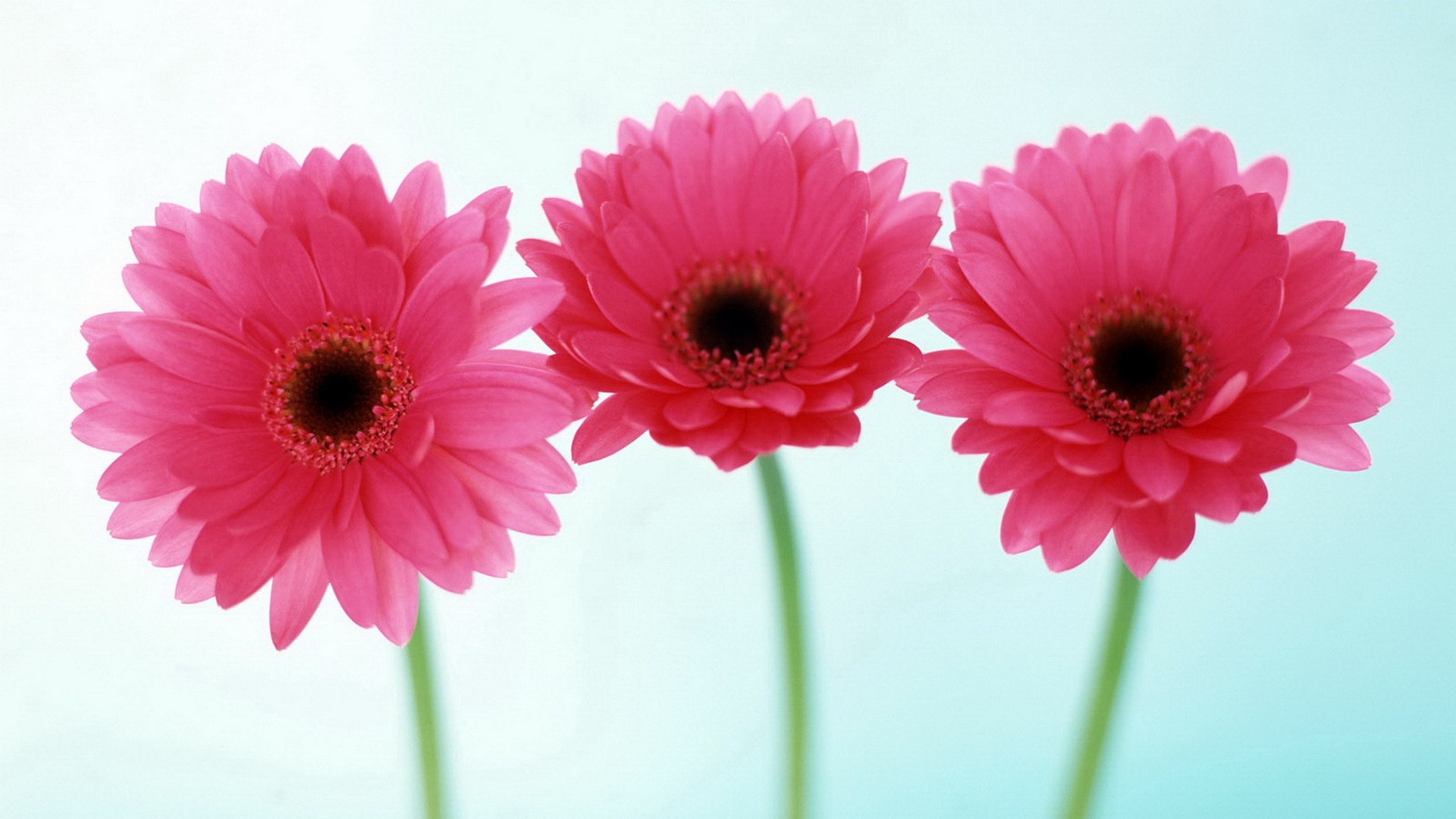 gerbera african daisy hd flowers wallpaper widescreen free