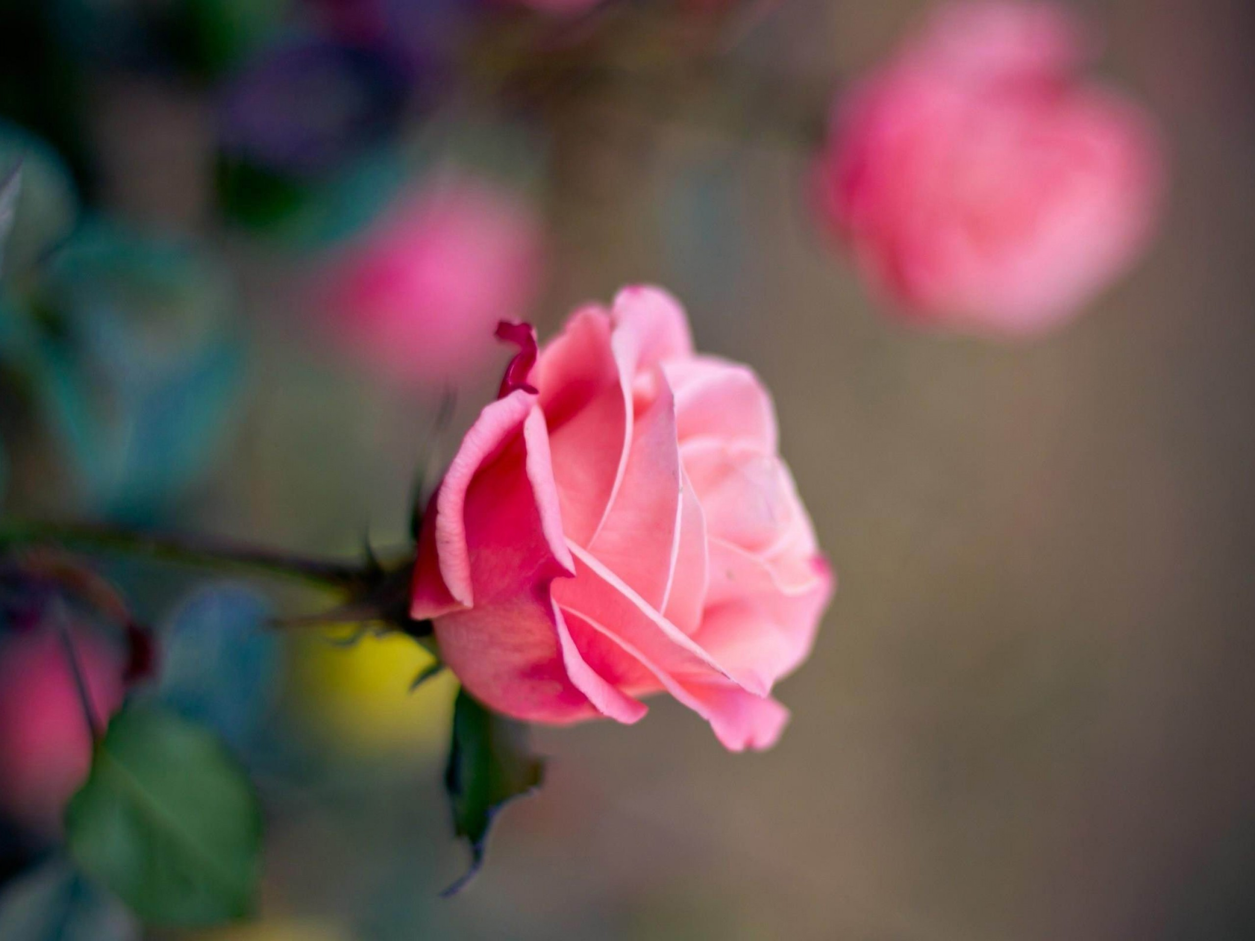 i love u pink rose view latest images free download