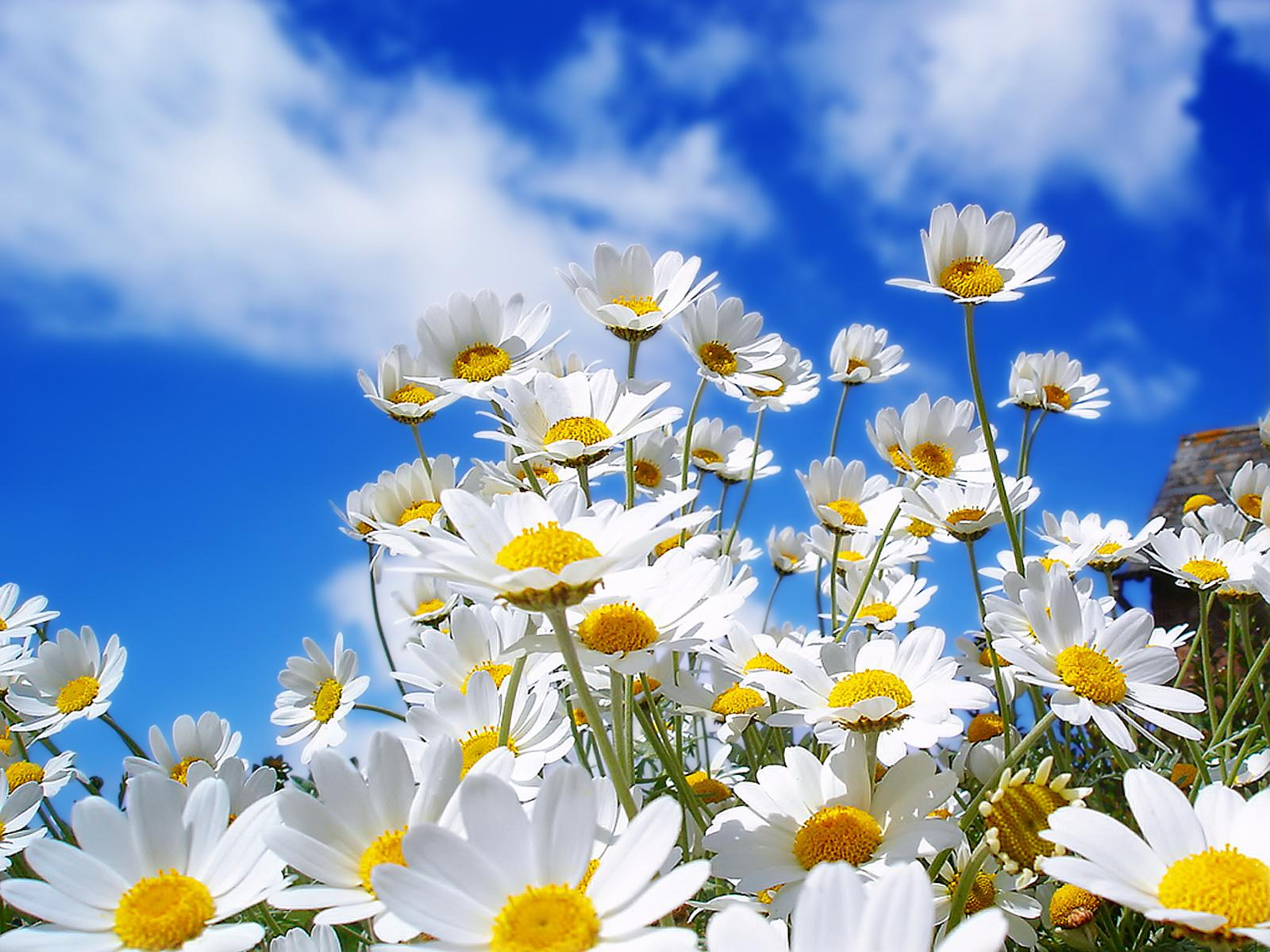 spring daisy flowers wallpapers hd pictures free download