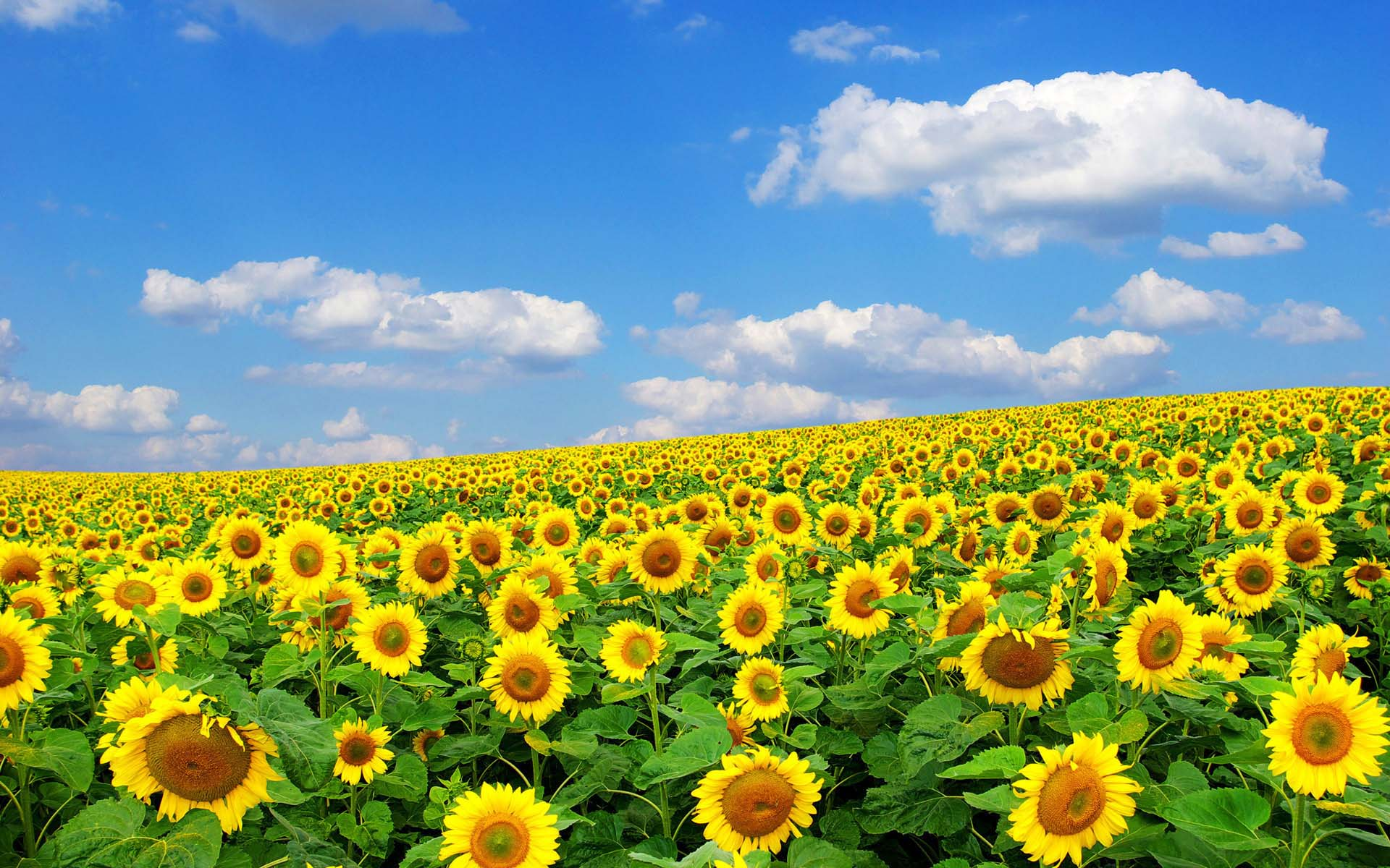 sunrise sunflower wallpapers hd pictures free download