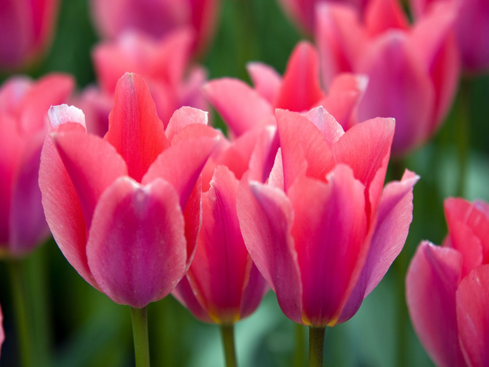 tulip pink tulip flower full hd desktop background image free image
