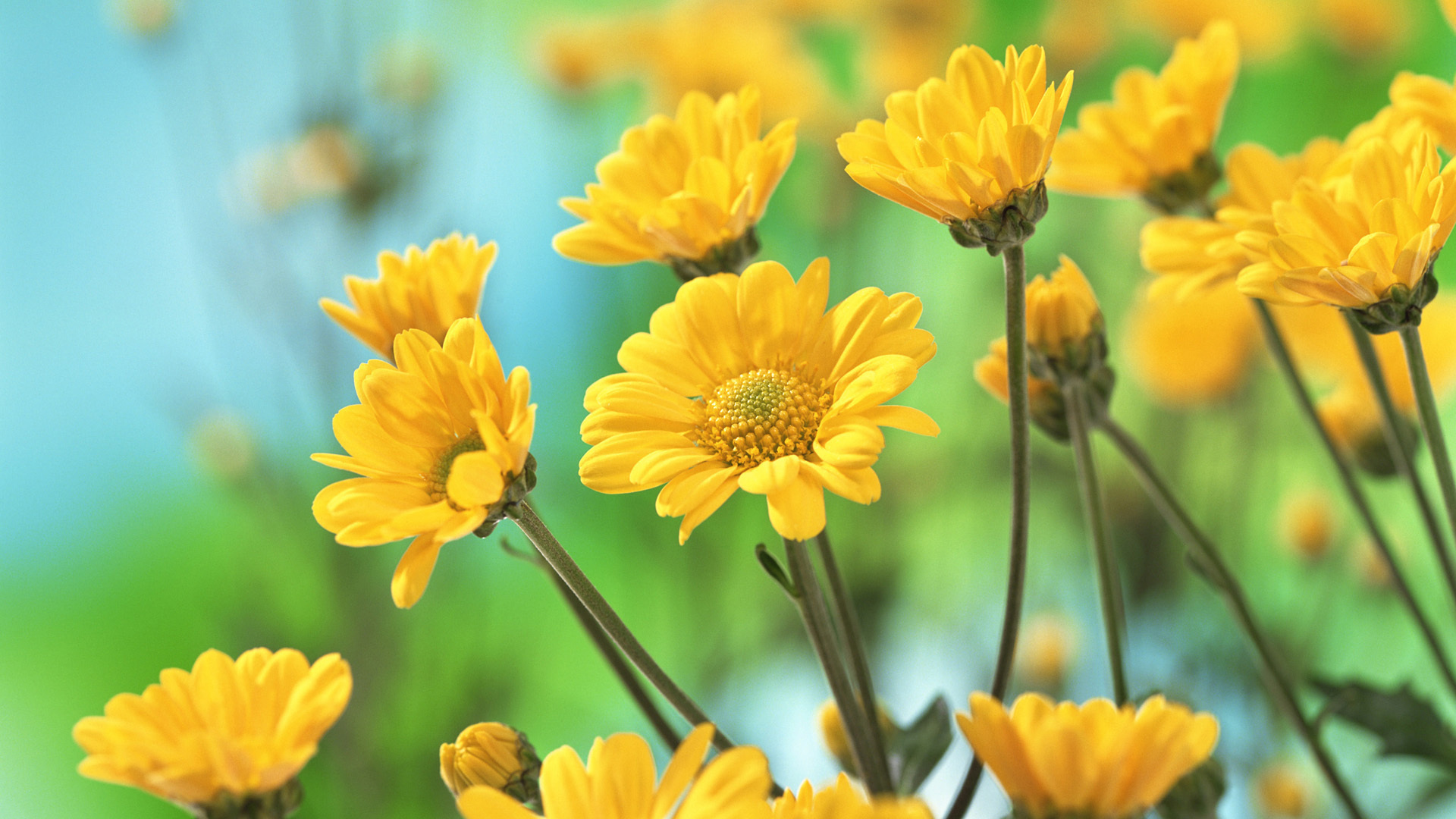 yellow cosmose hd flowers wallpapers free download images