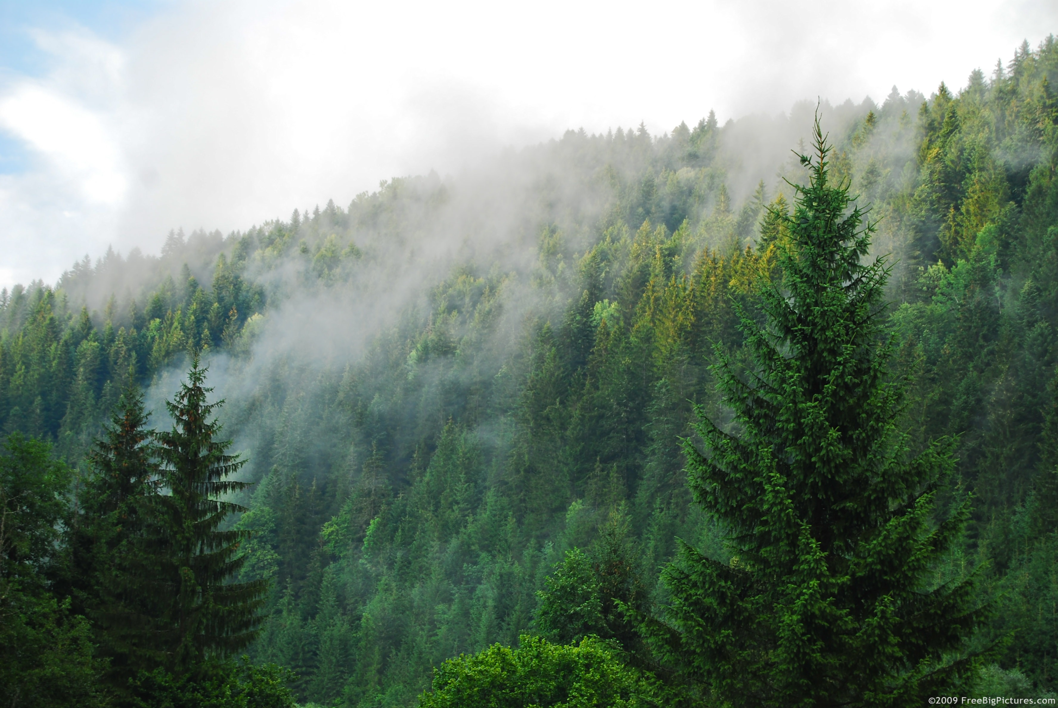 coniferous forest images photos picture wallpaper download