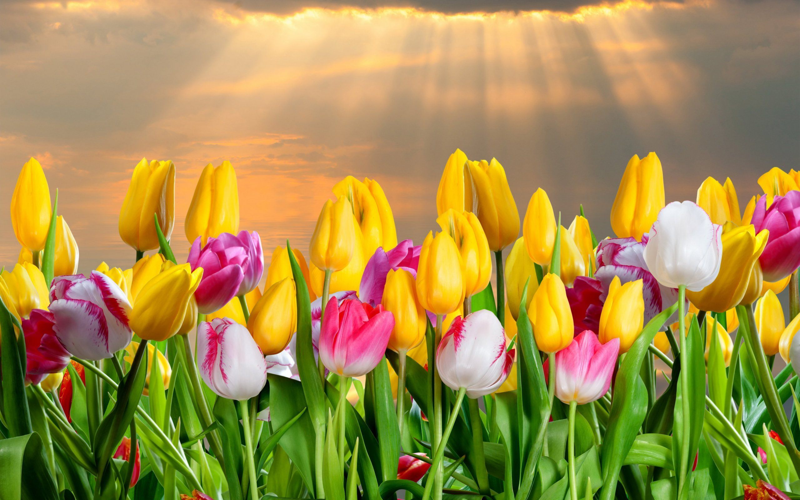 color tulips flowers background photo free download
