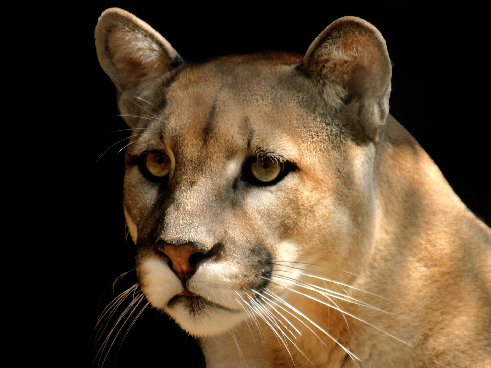 cougar puma concolor animal hd wallpaper image