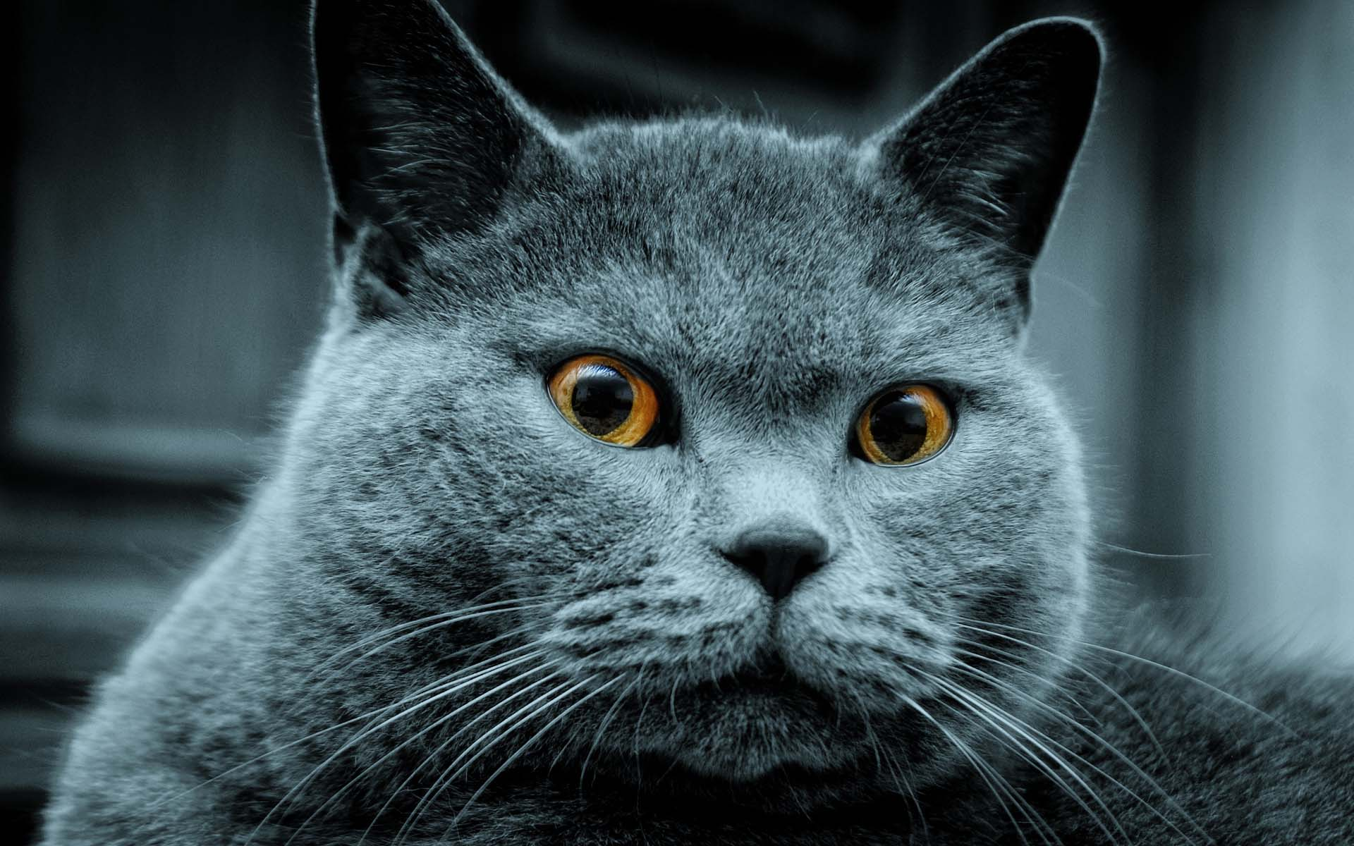 dangerous russian blue cats images picture photos download