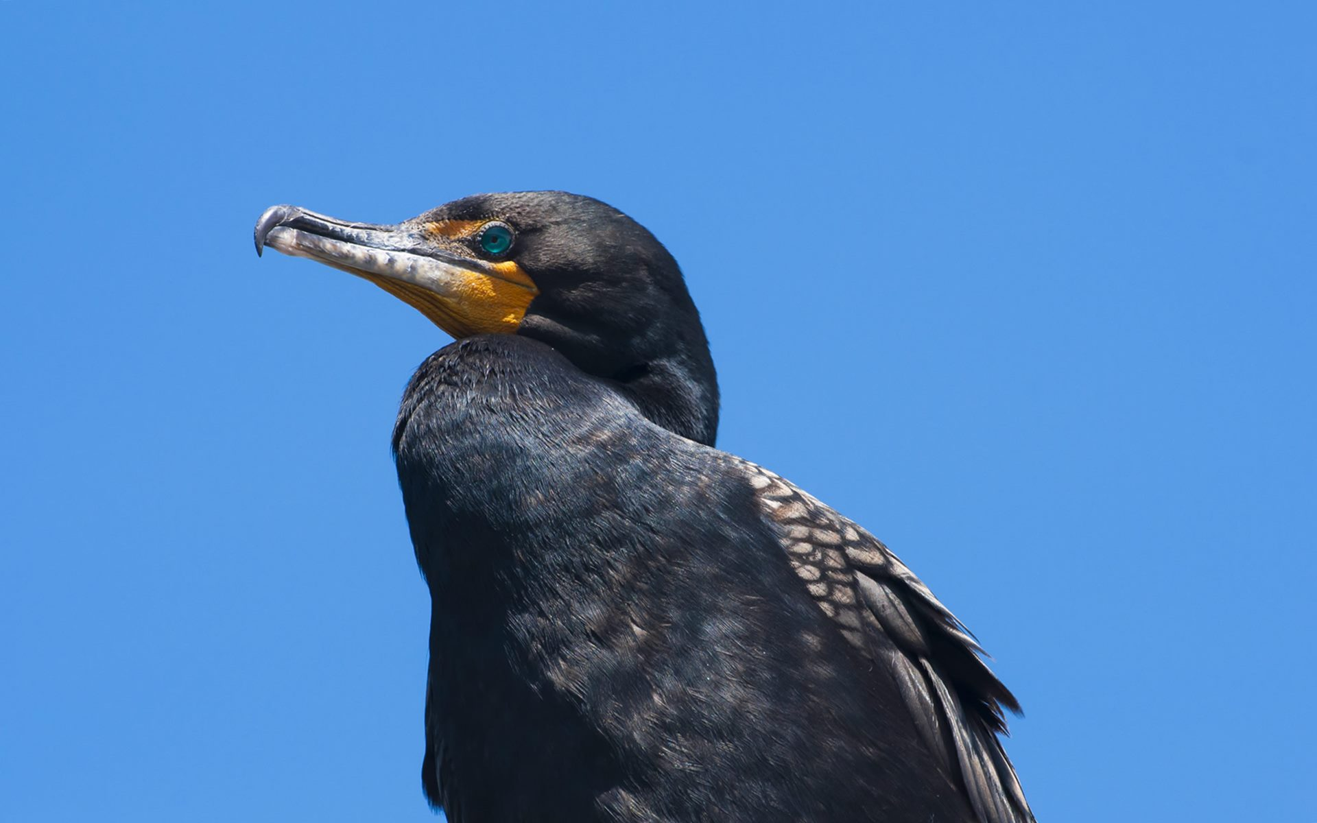 double crested cormorant bird hd wallpaper images picture download