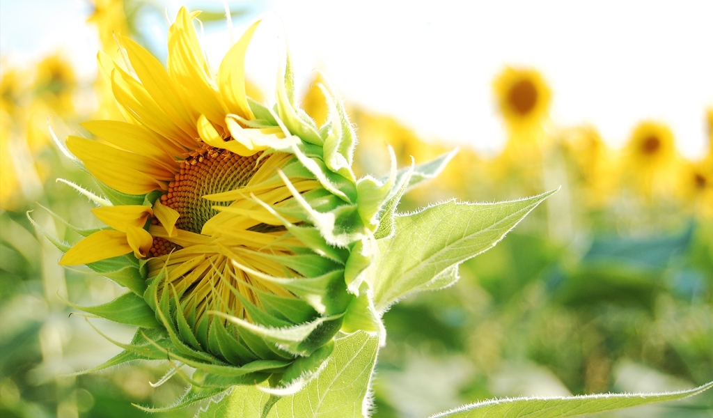 Fentastic Image Of Sunflowers And Picture Hd Views Download