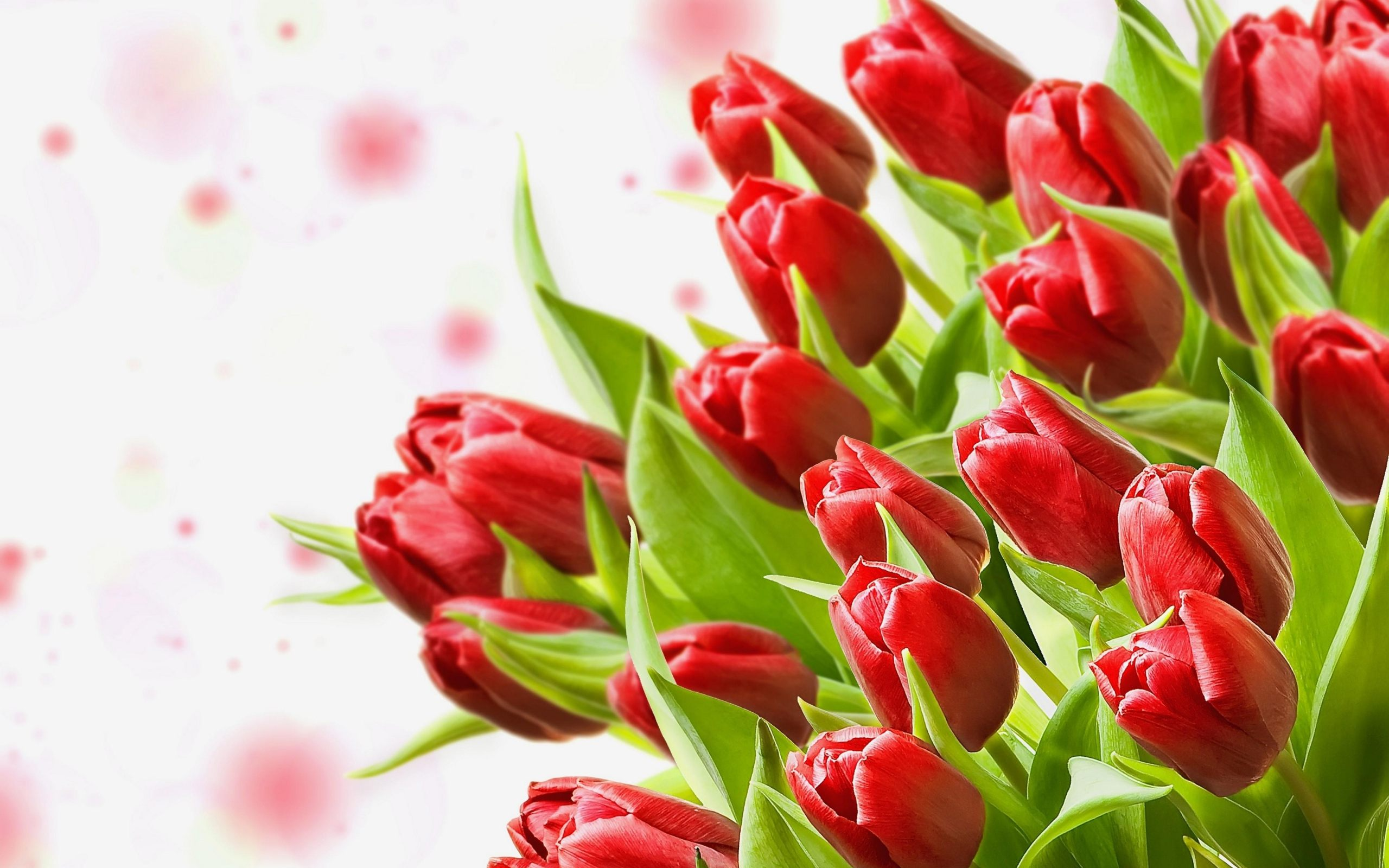 Hd Red Tulips Images Download