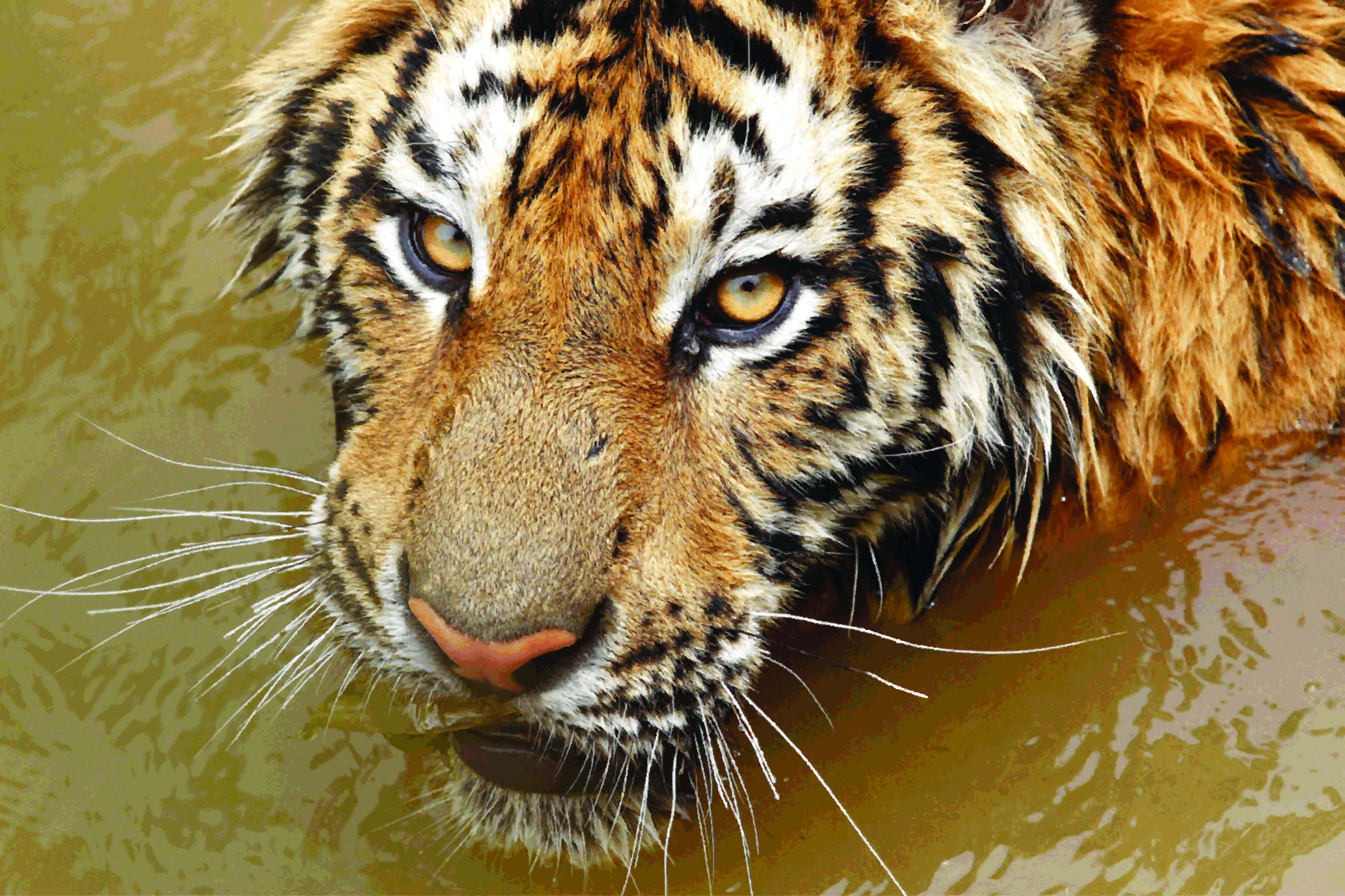 hunting tiger in water photos images wallpaper
