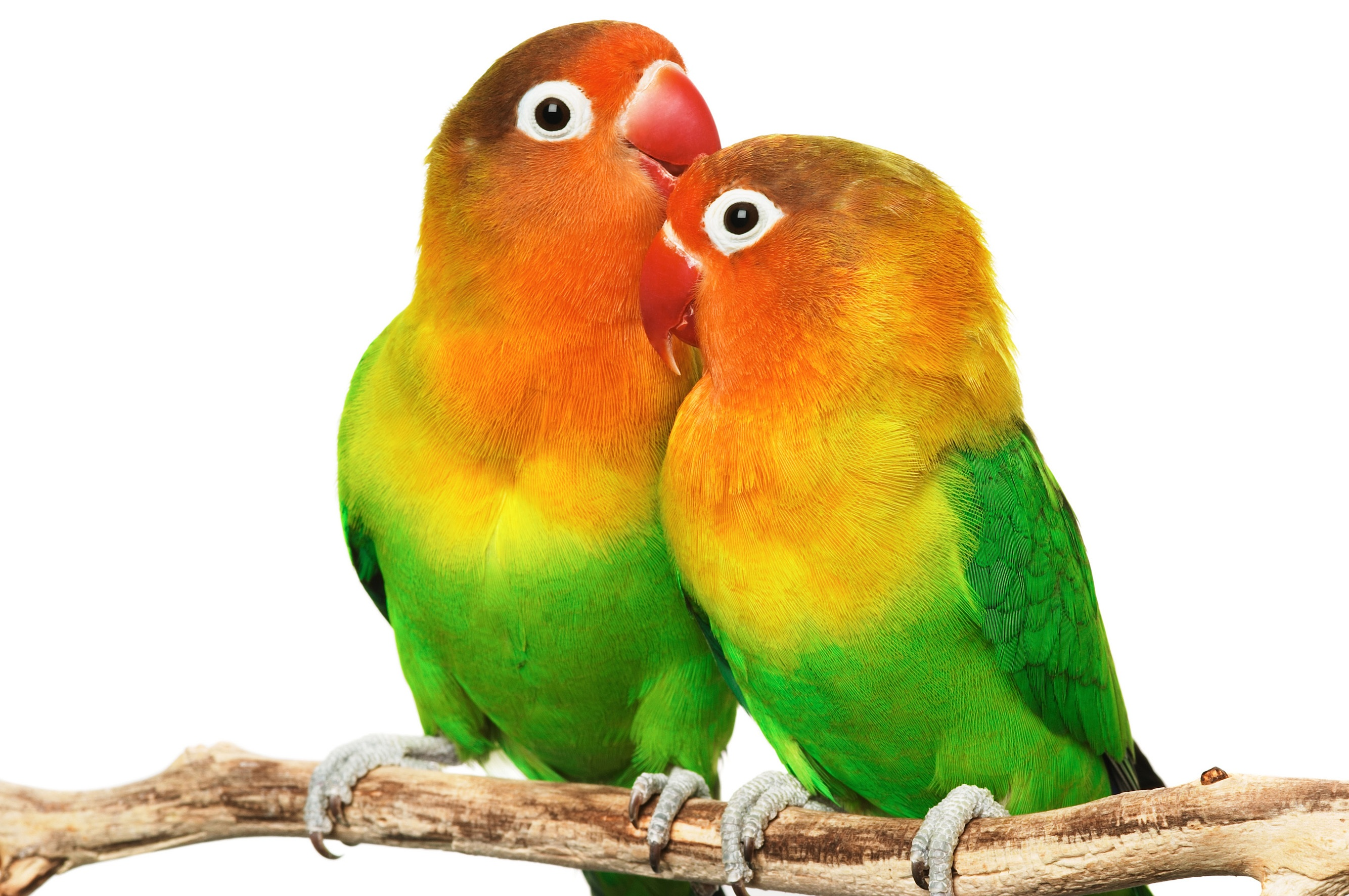 Lovely Love Birds Desktop Wallpaper Hd Pics Free Download