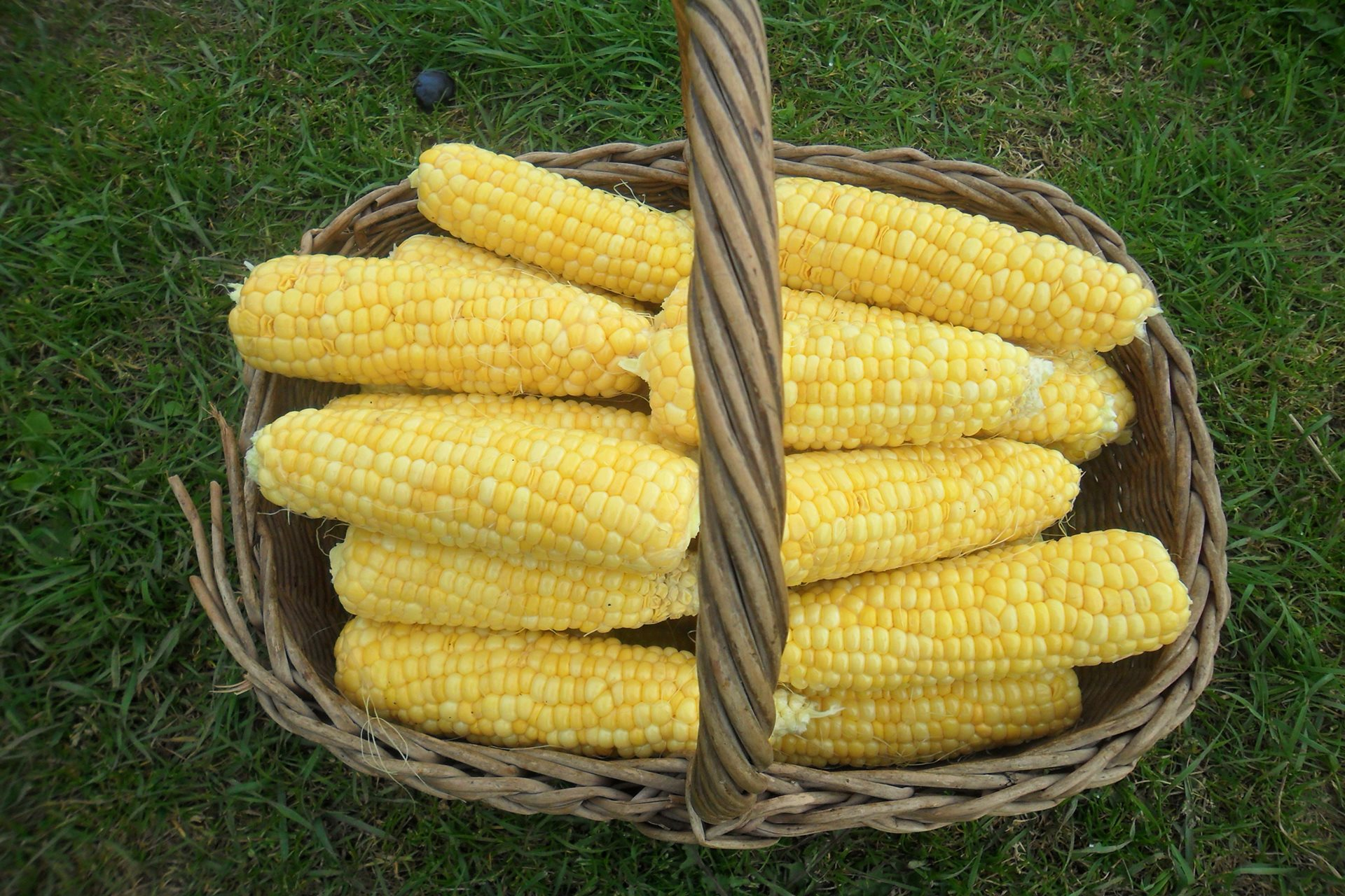 sweet corn basket hd wallpaper images picture download