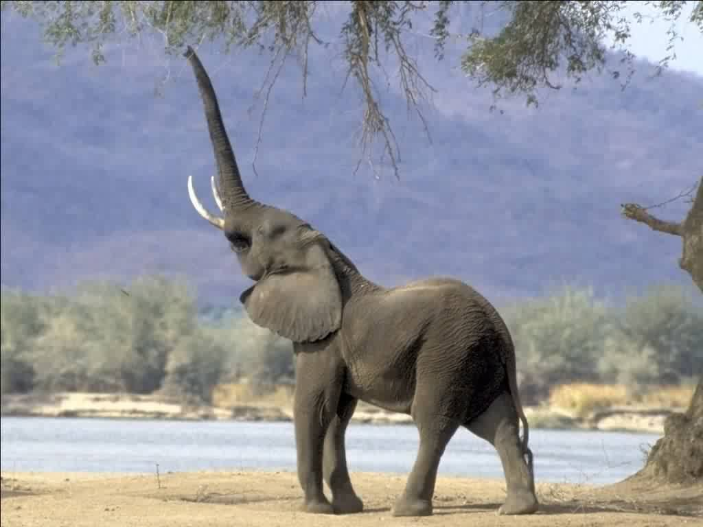 trumpet the Elephant hd background widescreen wallpapers