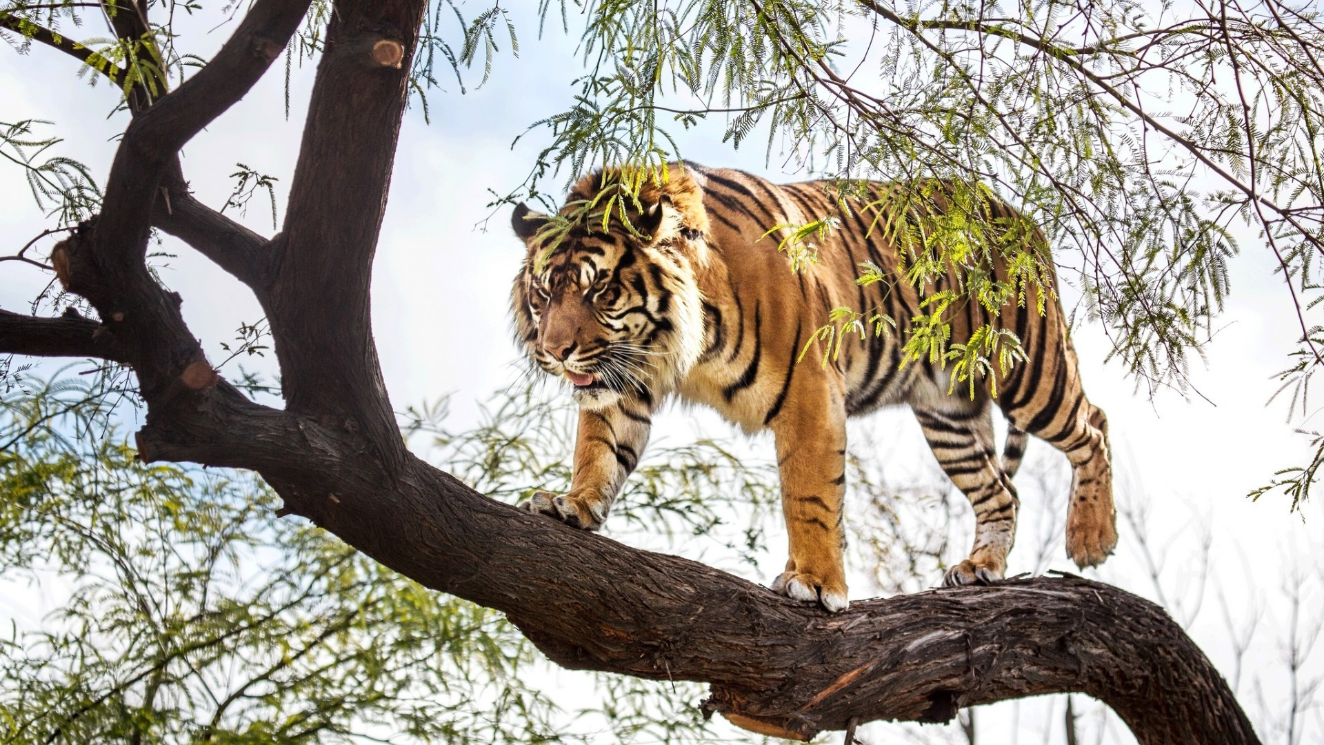 watching tiger on the tree image hd picture photos download