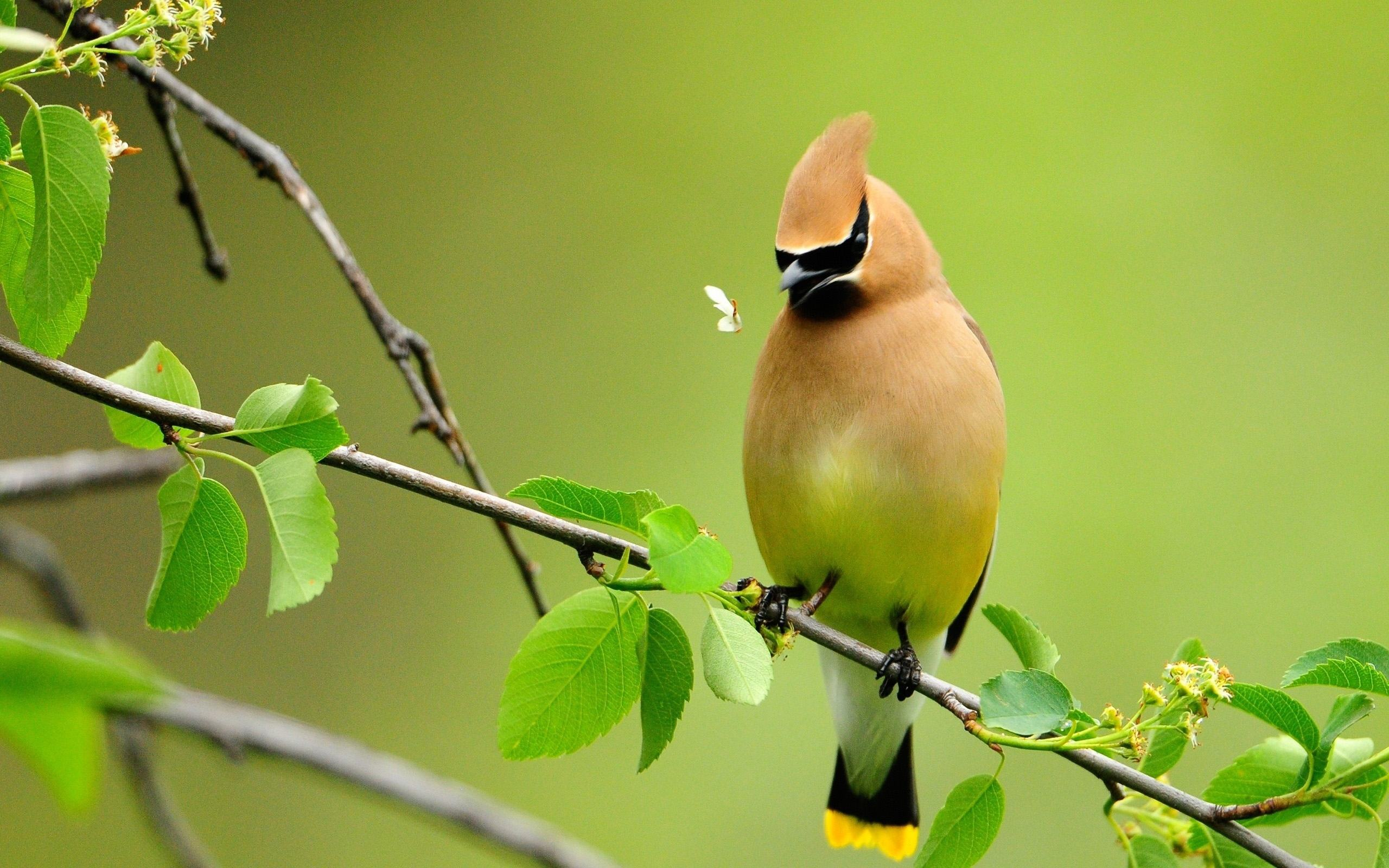waxwing bird high  resoultion background desktop wallpaper picture