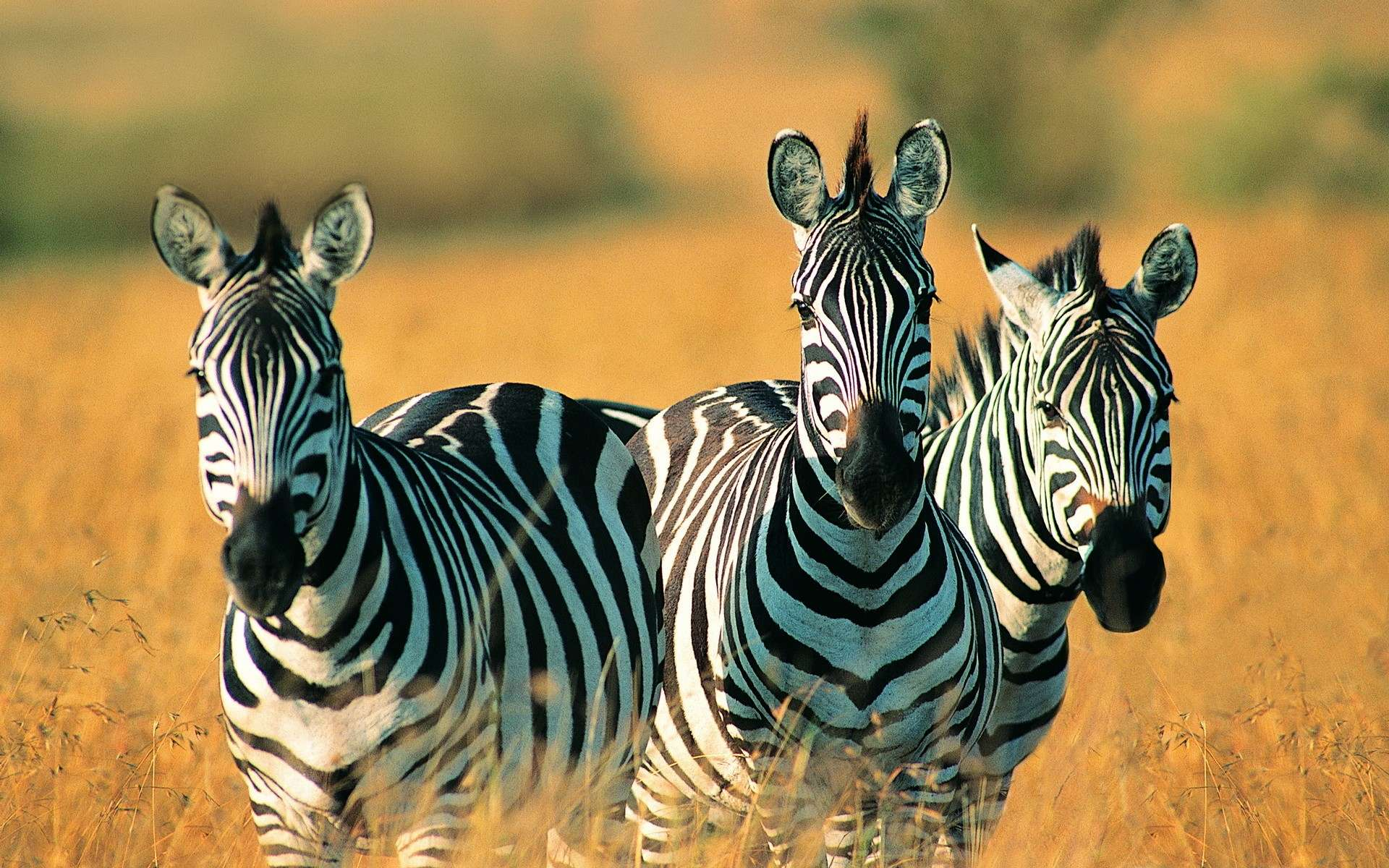 zebra hd wallpaper image free download photos