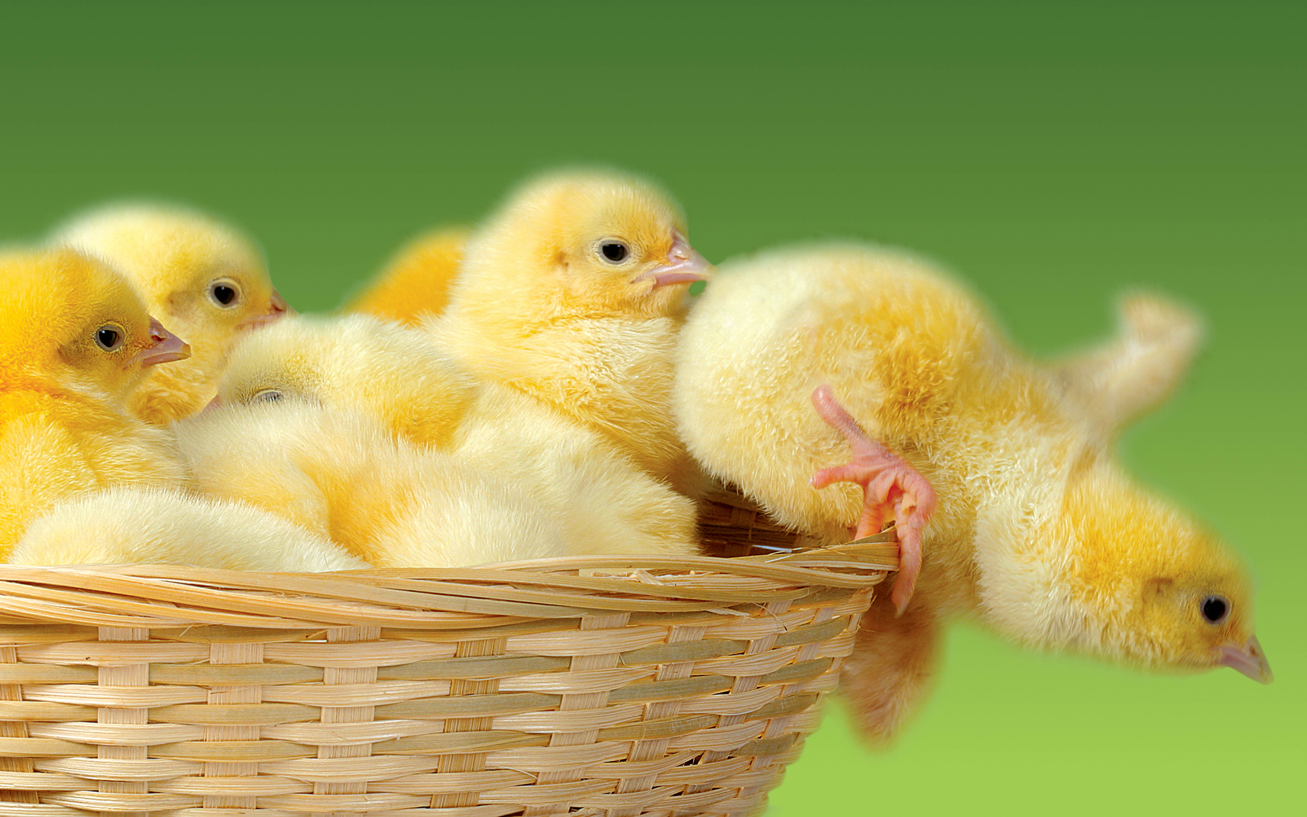 cute kid chicken falling down basket amazing pics