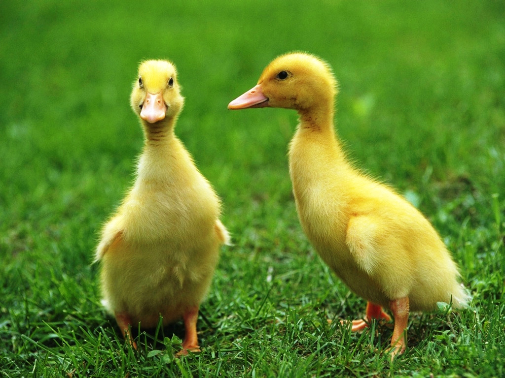 cute yellow ducks on grass wallpapers free download
