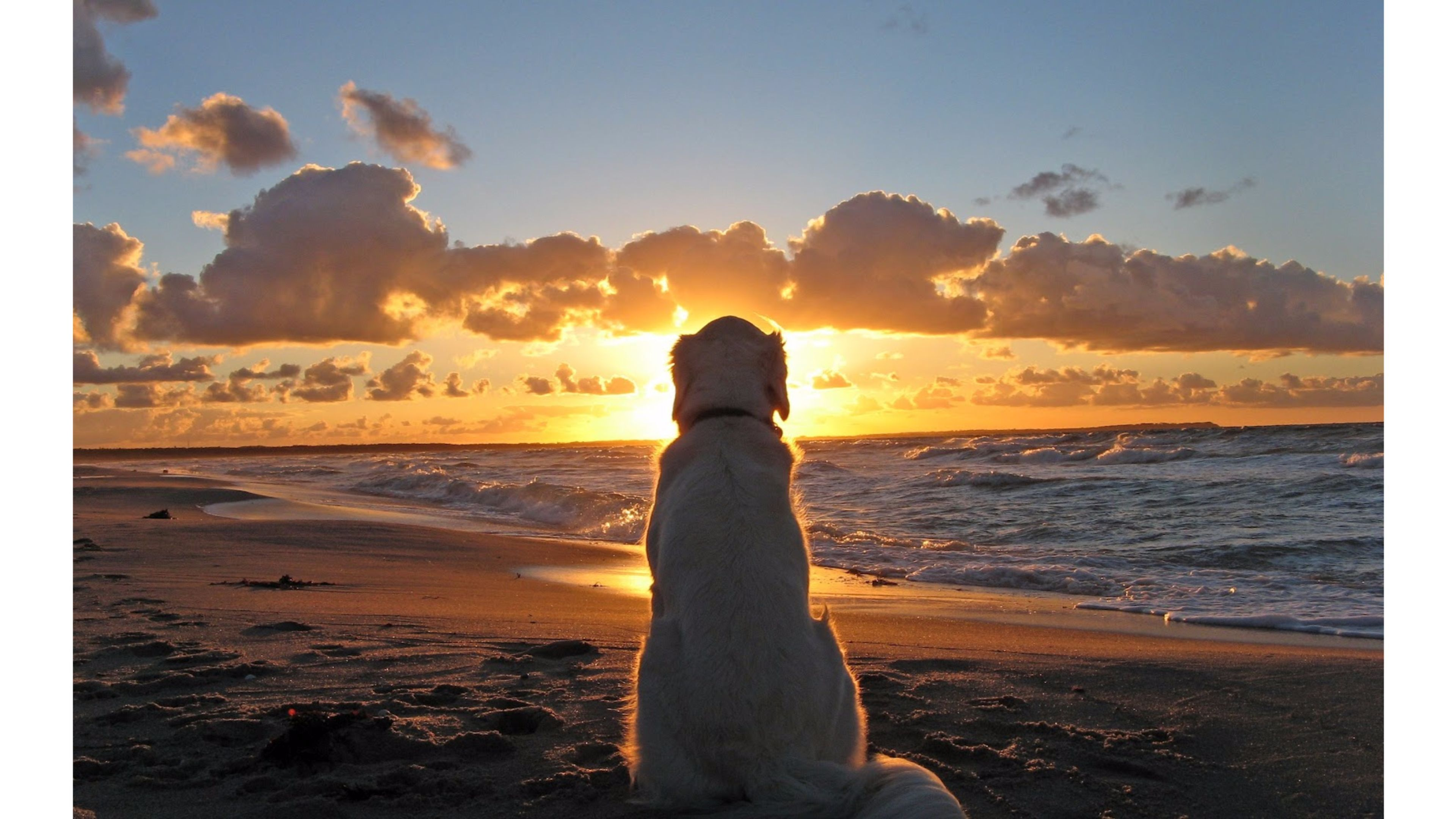golden retriever dog seeing sunset photos