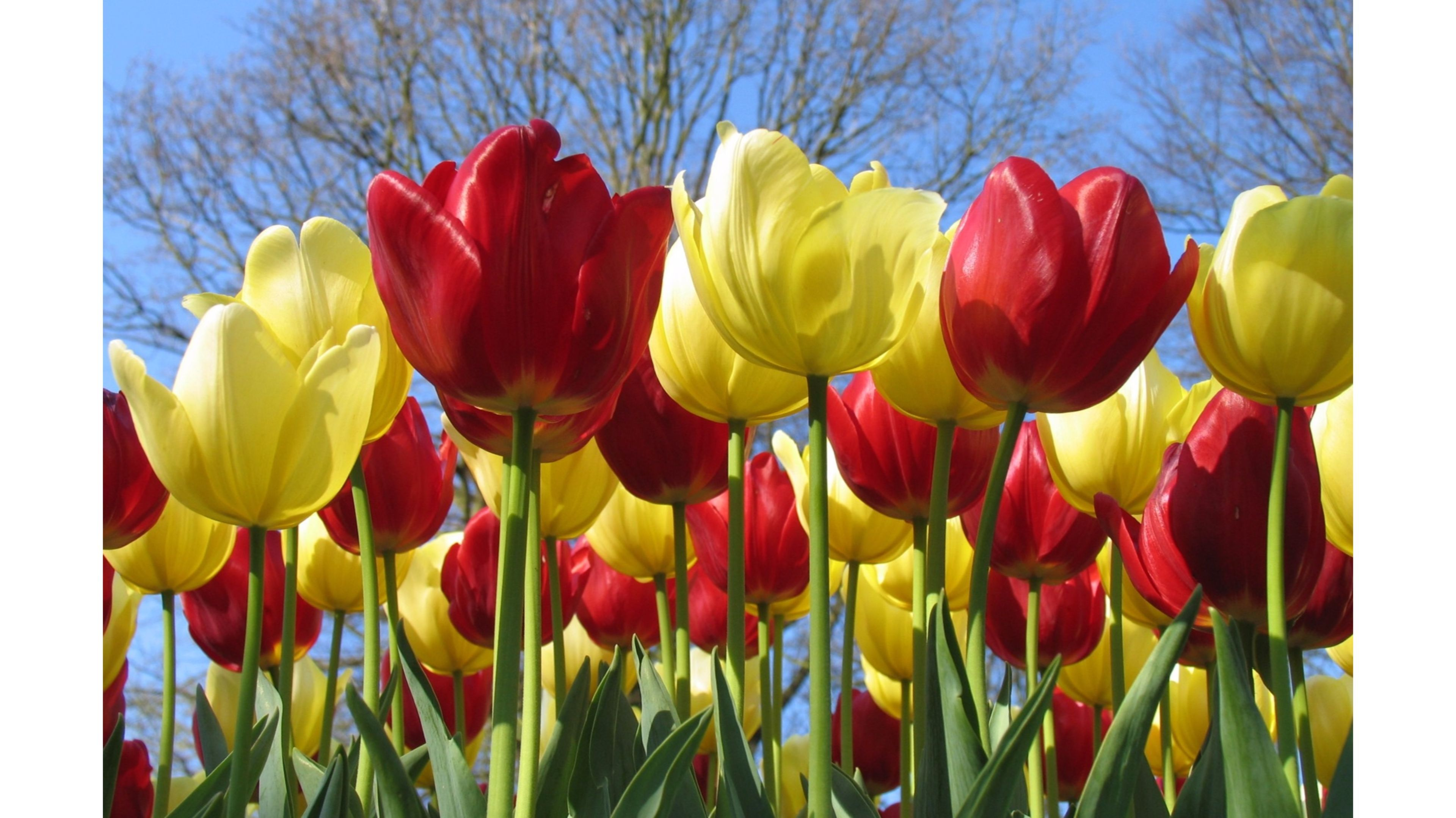 hd tulip wallpapers flower pics