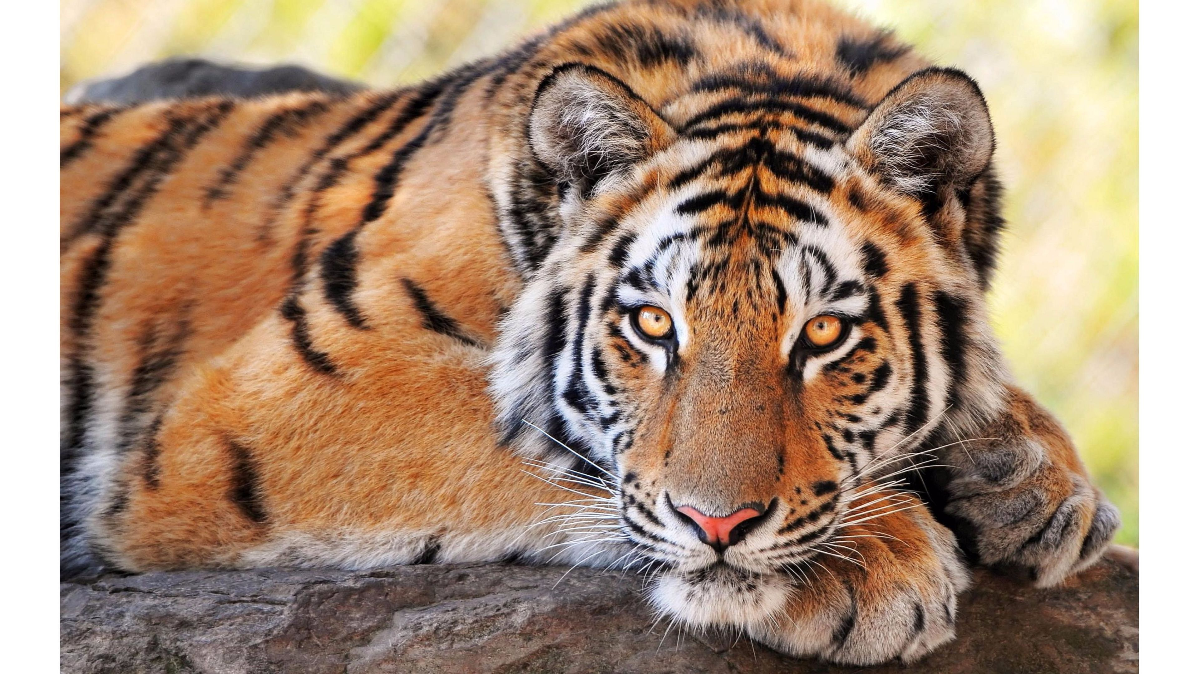 high definition bengaal tiger pics download