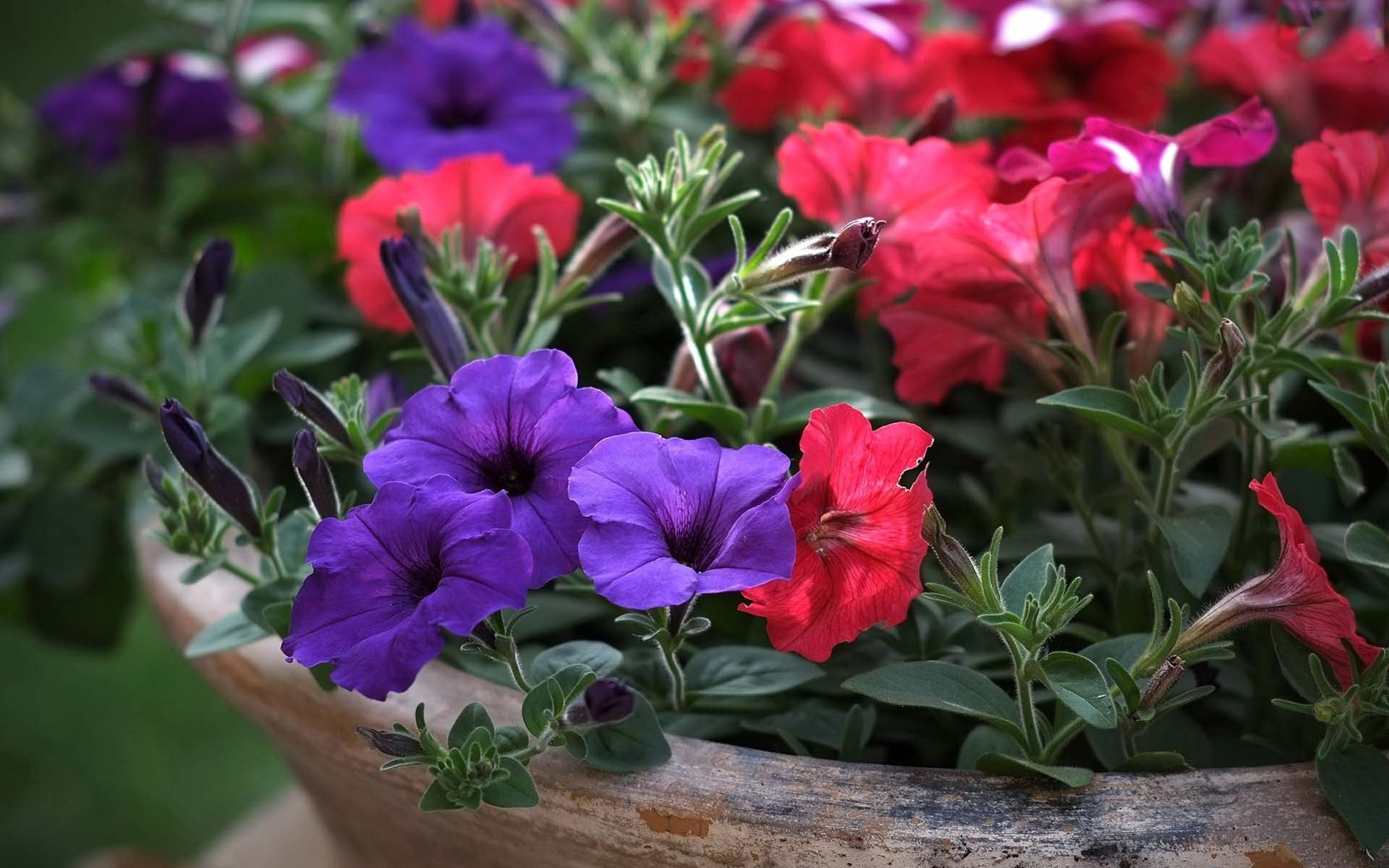 Best Download Colorful Petunia Scenery For Mobile
