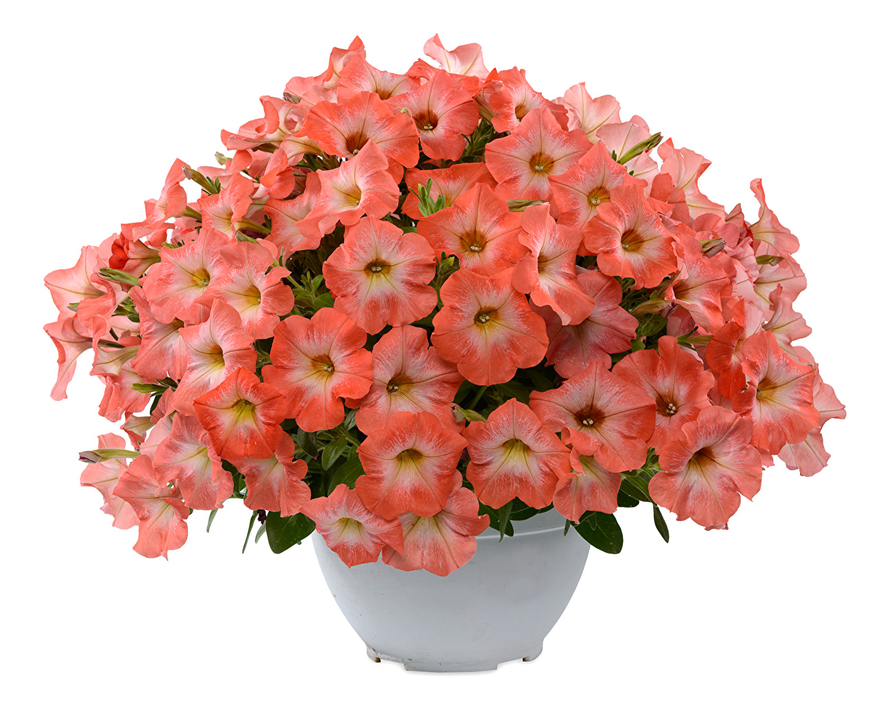 Download Cool Flower Petunia Wallpaper Collection For Desktop