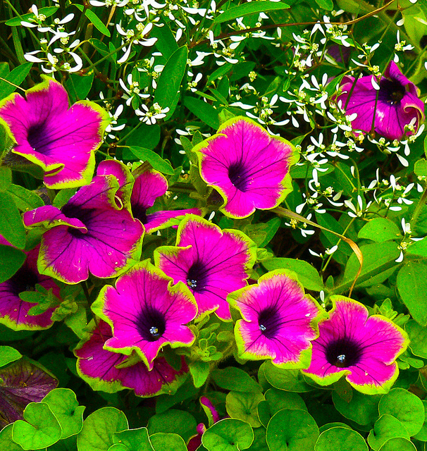 Download Hd Amazing Petunia Flower Scenery