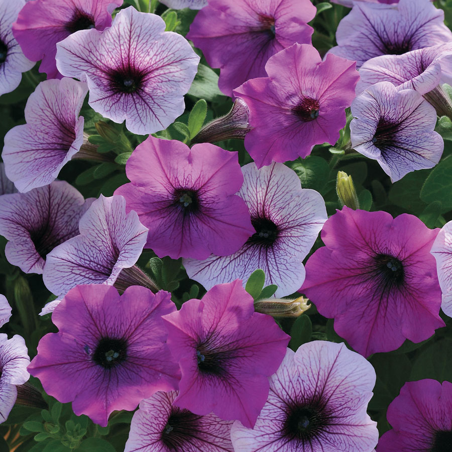 Download Hd Amazing Petunia Flowers Image