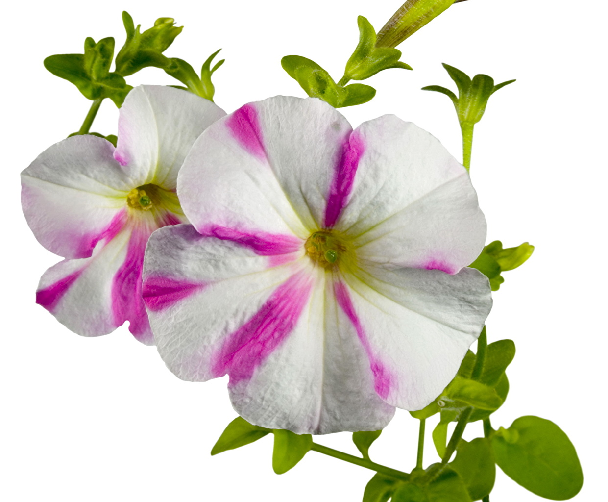 download stunning petunia pictures mobile