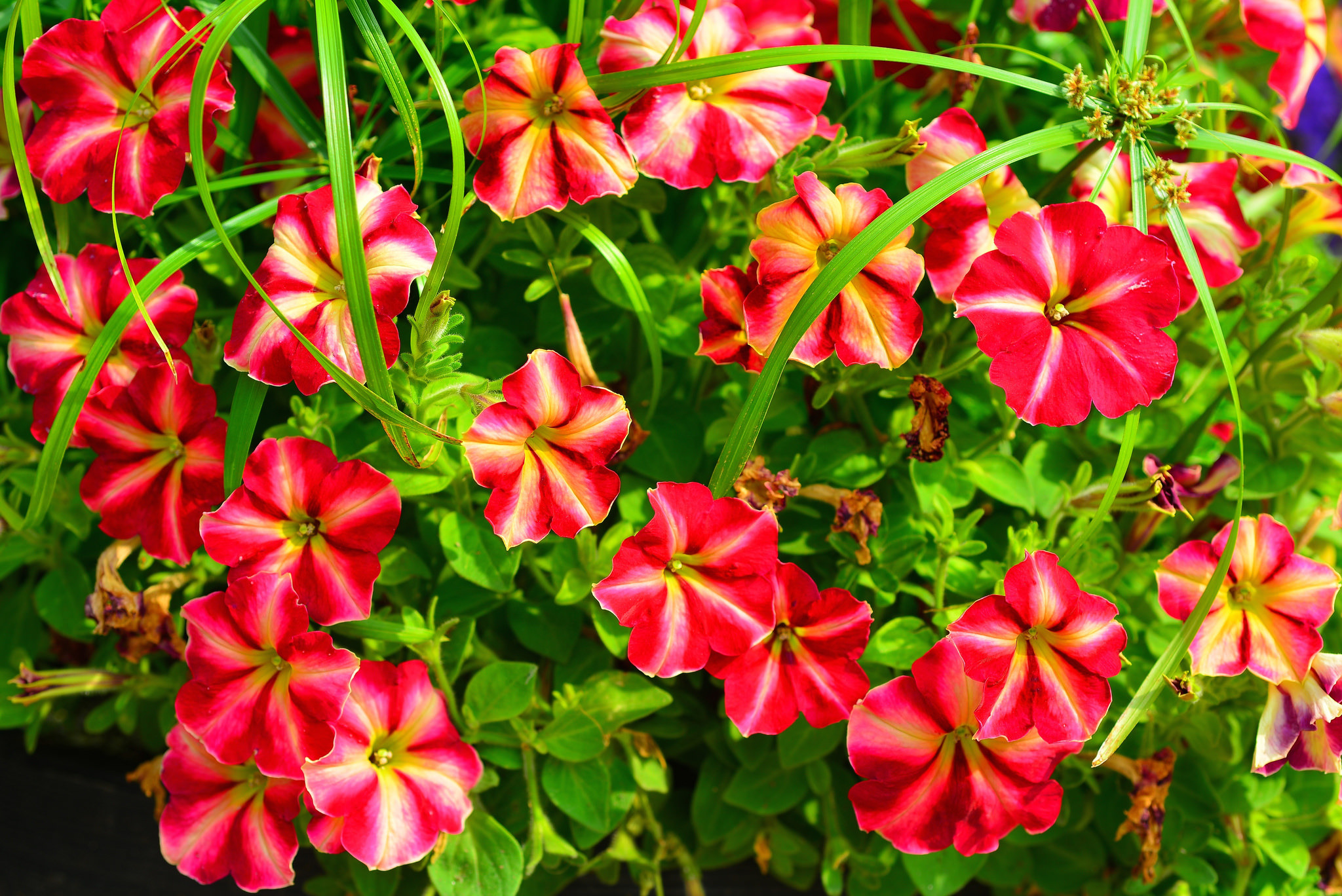 Fantastic Petunia Flowers Image Free Download