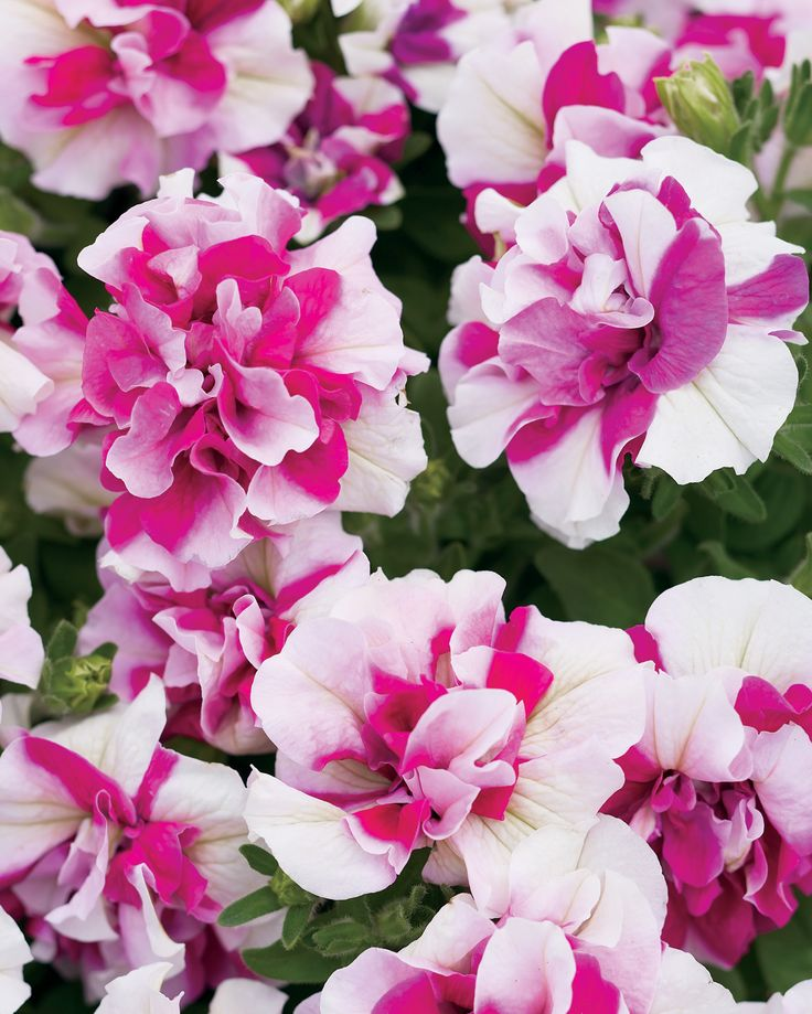 free attractive petunia flower wallpaper mobile
