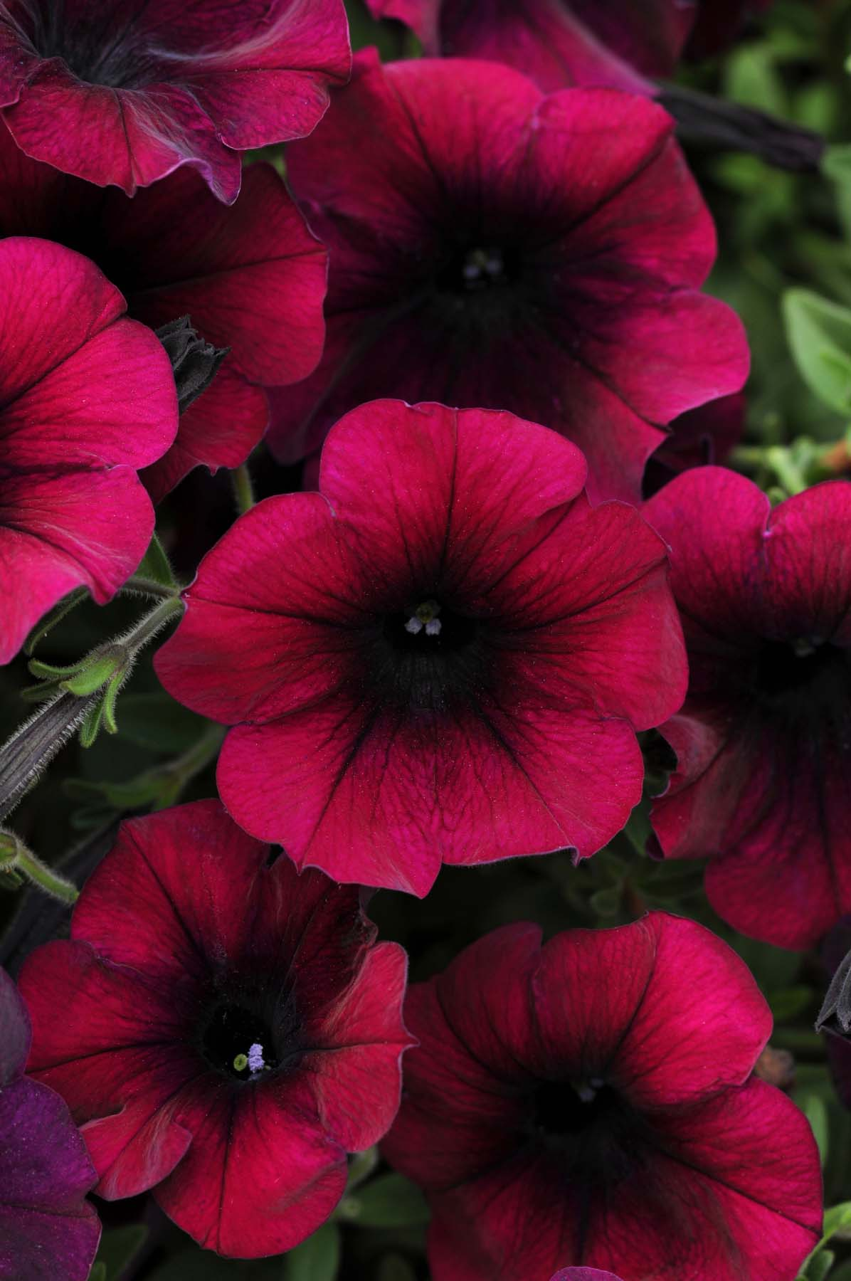 Free Awesome Petunia Flowers Wallpapers For Mobile