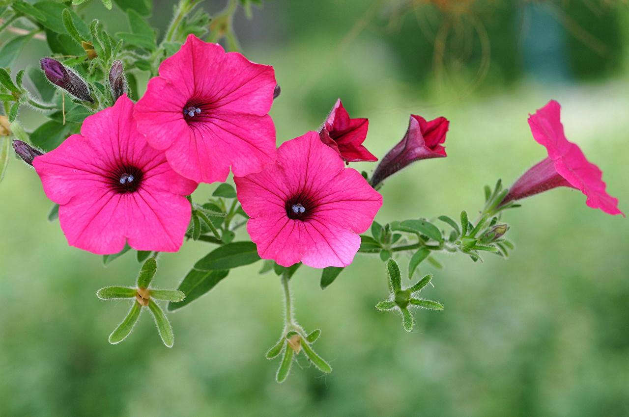 Free fantastic petunia flower sceneries for mobile izmirmasajfo