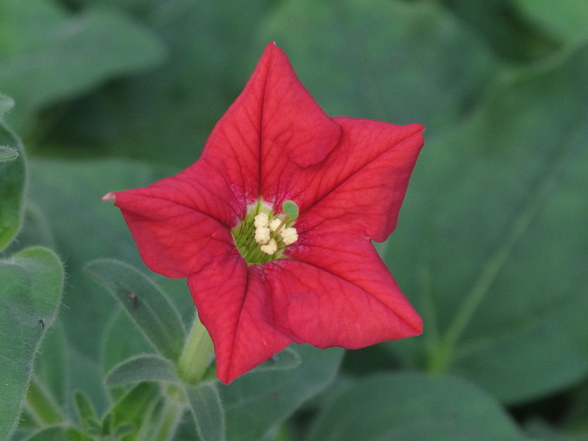 Free Gorgeous Widescreen Petunia Pictures