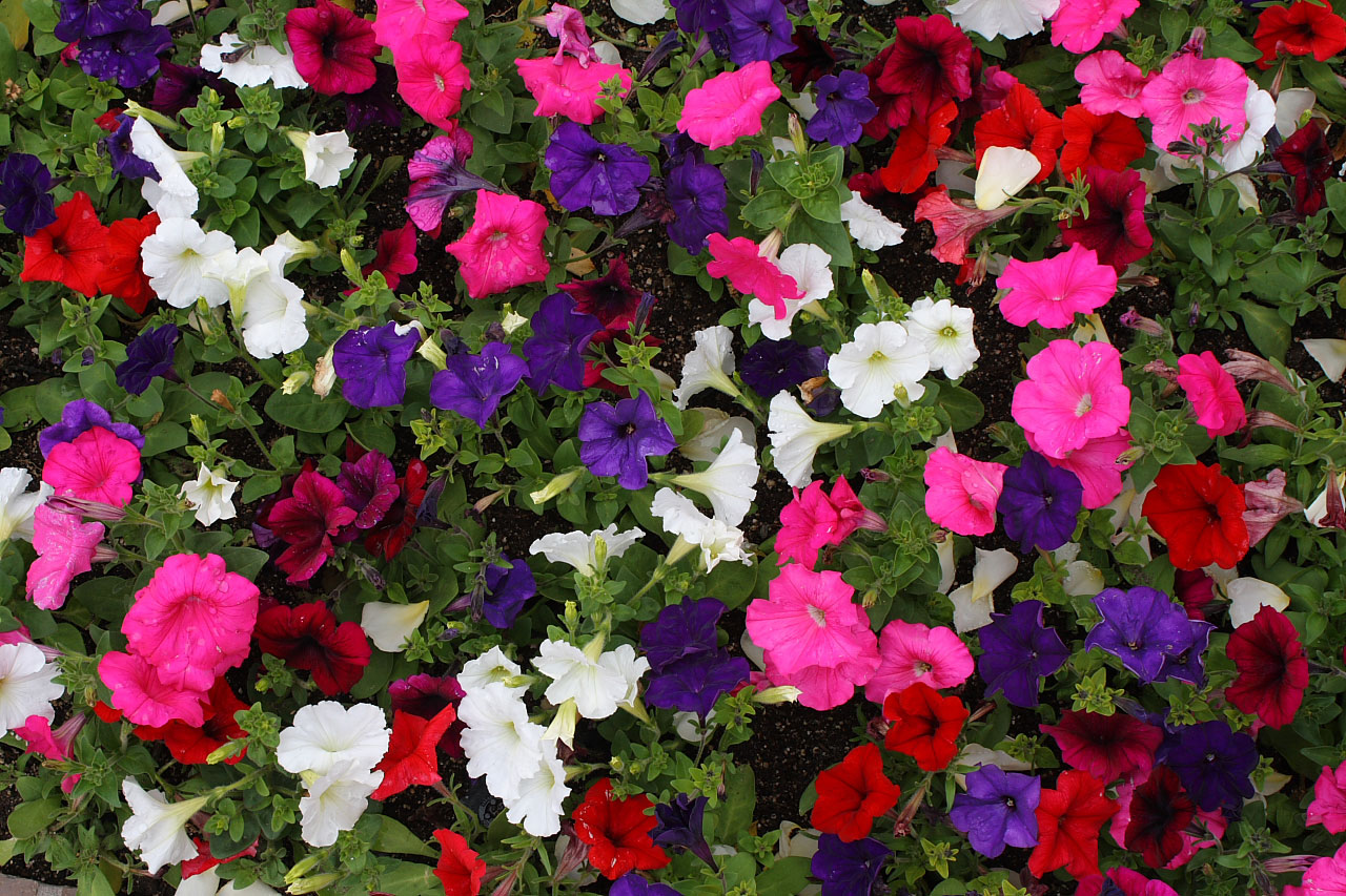 free high definition gorgeous petunia pictures download