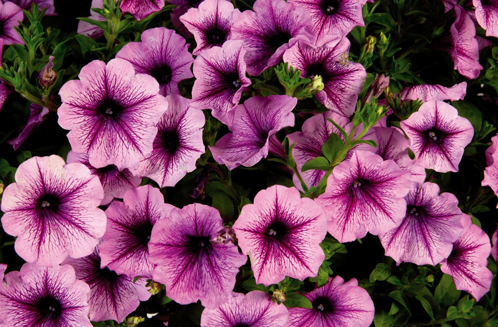 free high definition mind blowing colorful petunia wallpaper download