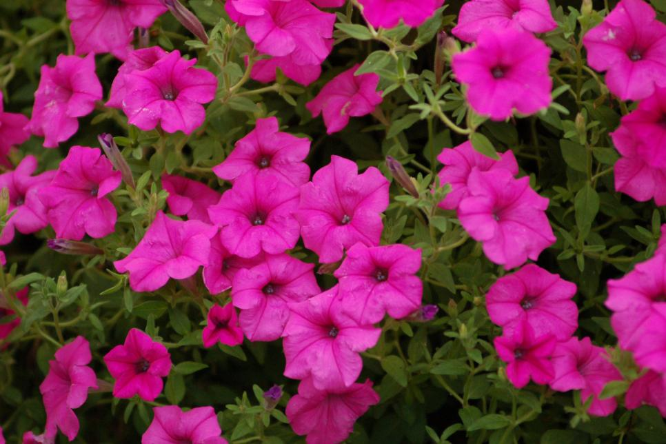 free high definition mind blowing colorful petunia wallpapers download