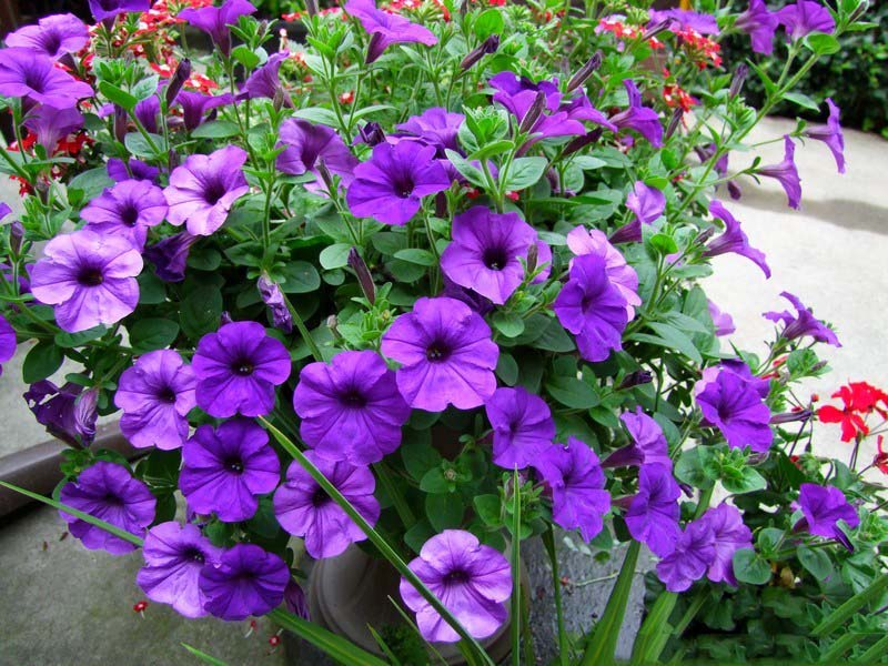 high quality free charming hd colorful petunia wallpapers