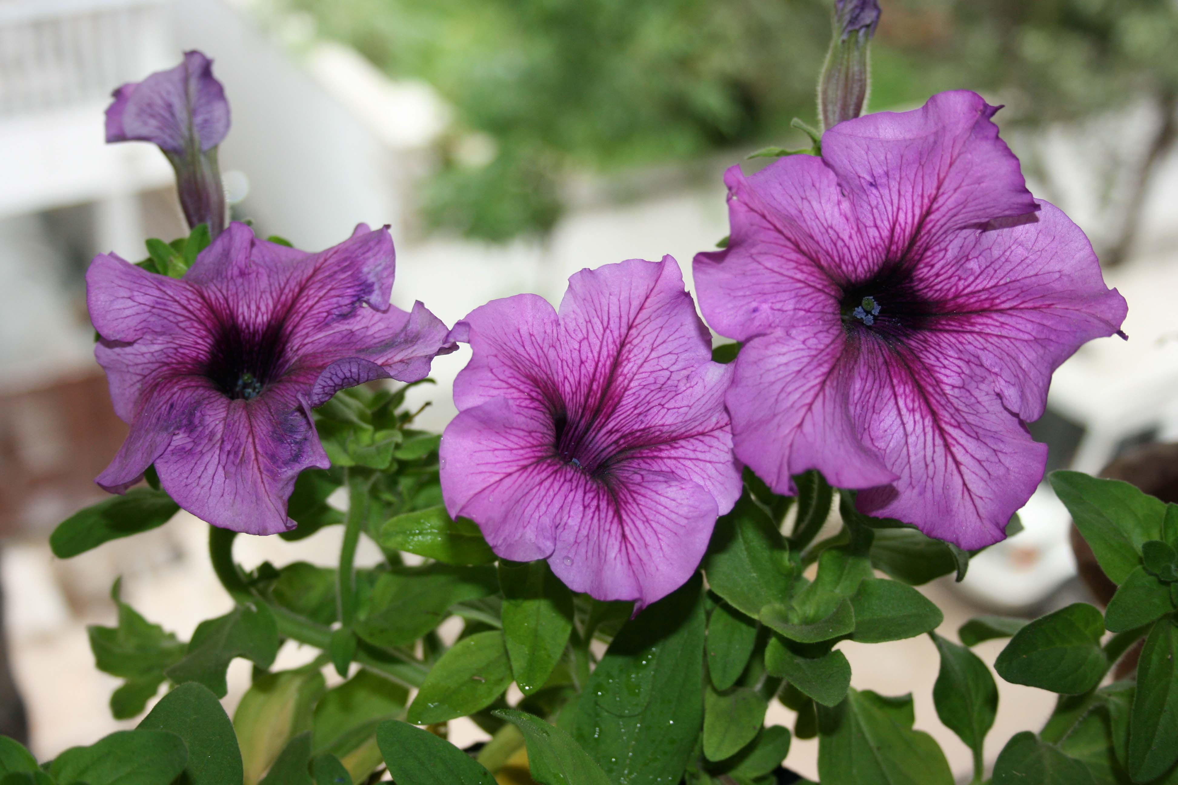 high quality latest flower petunia wallpaper