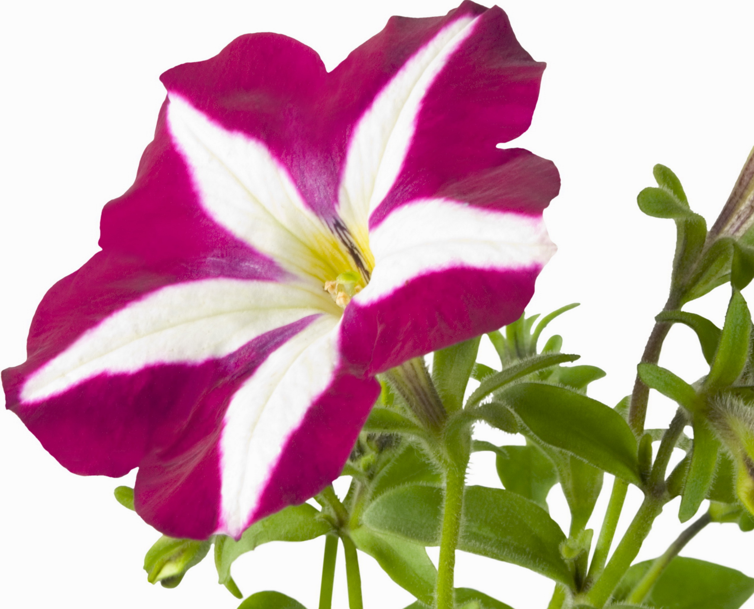Pleasant Widescreen Petunia Screensavers Download