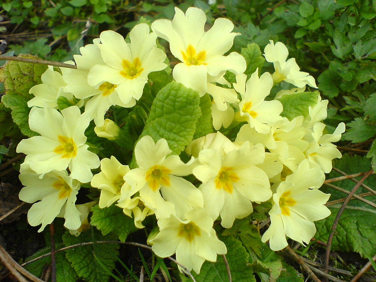 download beautiful primrose photos