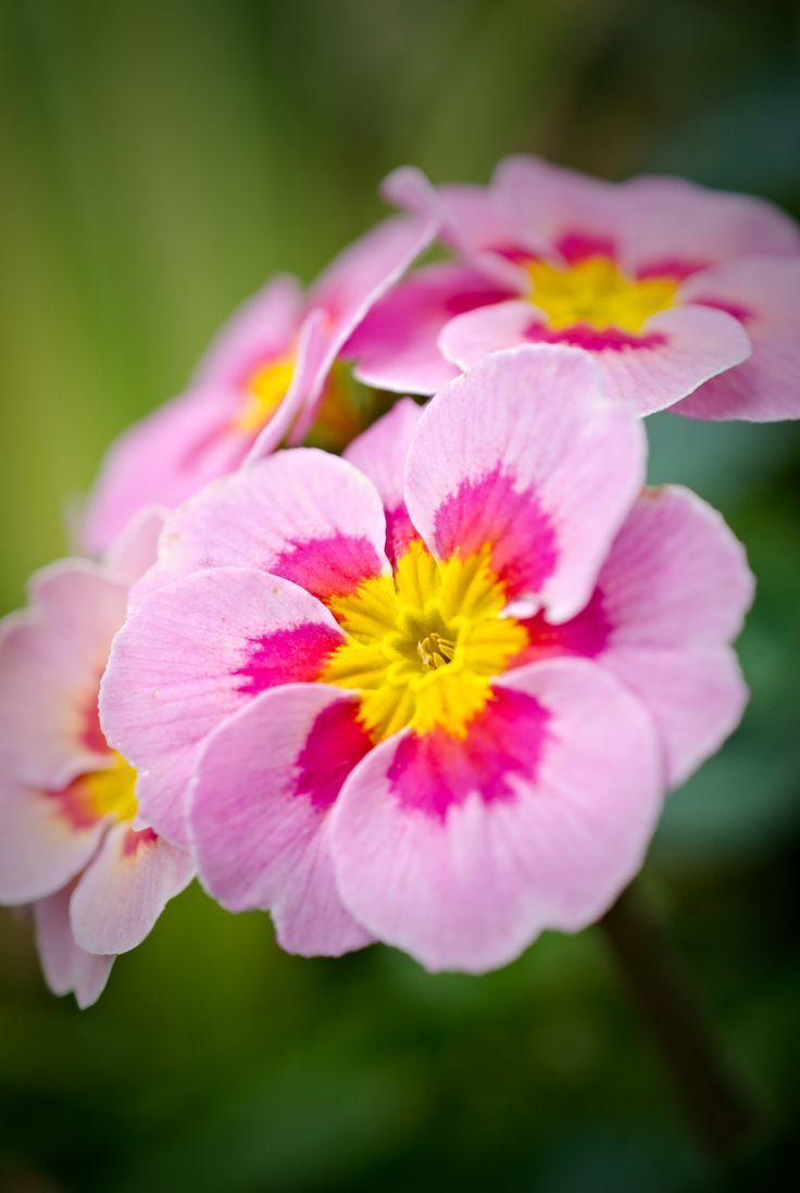 download best primrose photos for iphone