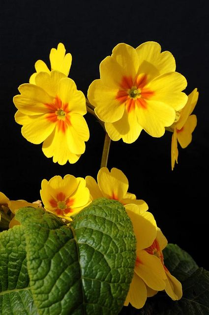 download recent primrose wallpaper collection for desktop