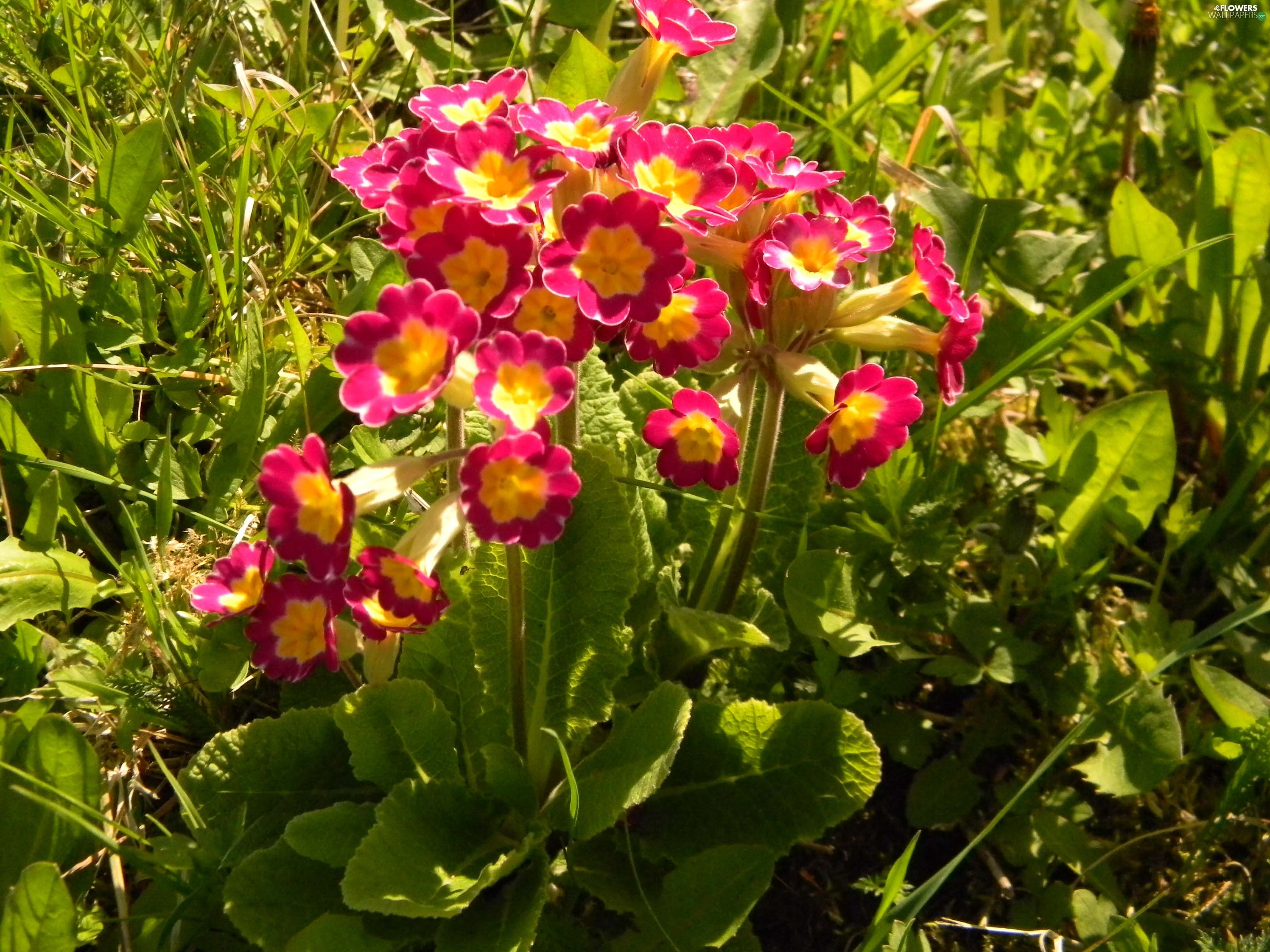 Free Desktop Beautiful Spring Primrose Wallpaper Download