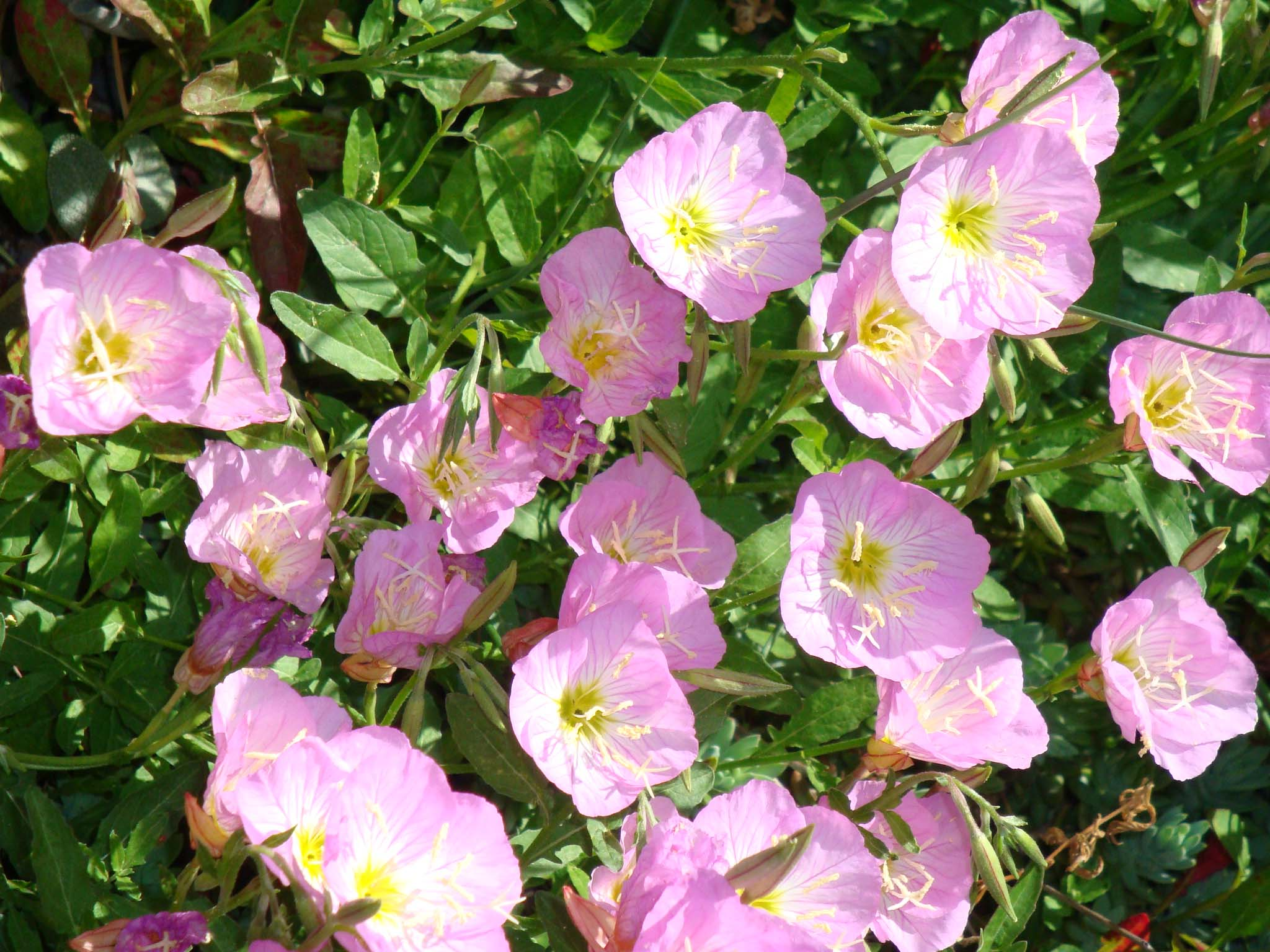 free high definition fantastic primrose pictures download