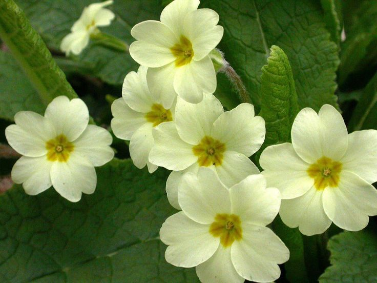 Free Majestic Primrose Images For Tablet