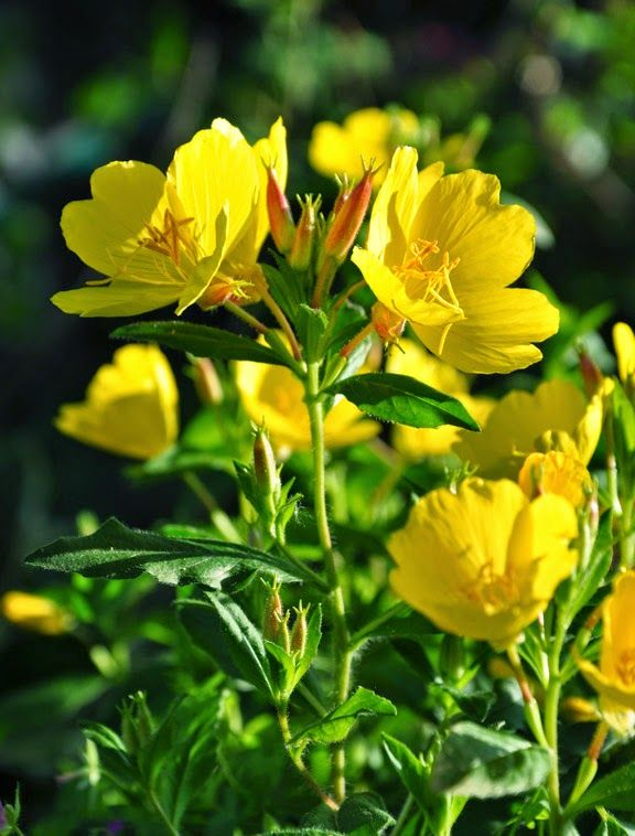 hd desktop pleasant evening primrose images download